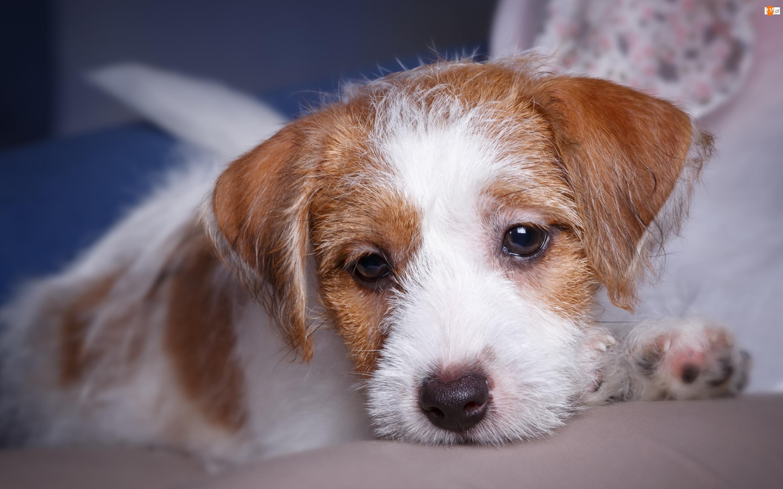 Jack Russell terier, Pies, Szczeniak