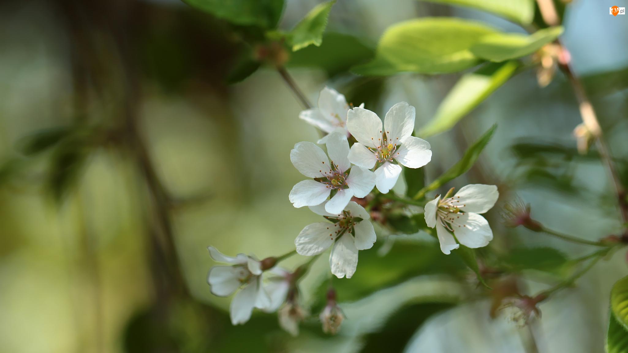 Drzewo owocowe, Gałązka, Kwitnącej, Wiśni