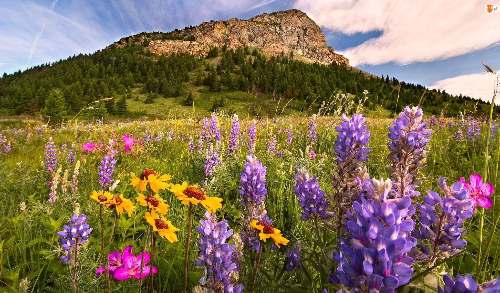 Prowincja Alberta, Kanada, Góry, Park Narodowy Waterton Lakes, Łąka, Kwiaty, Łubin