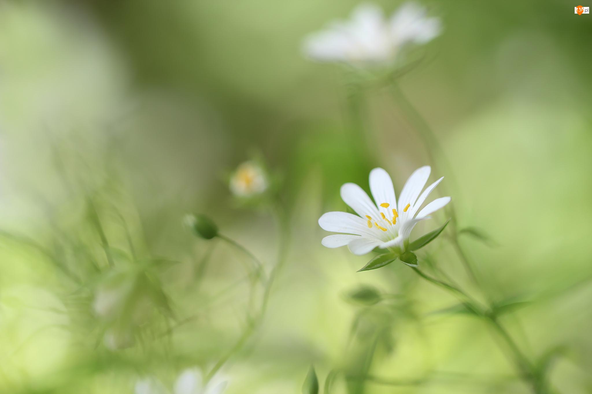 Zbliżenie, Rogownica, Biały, Kwiat