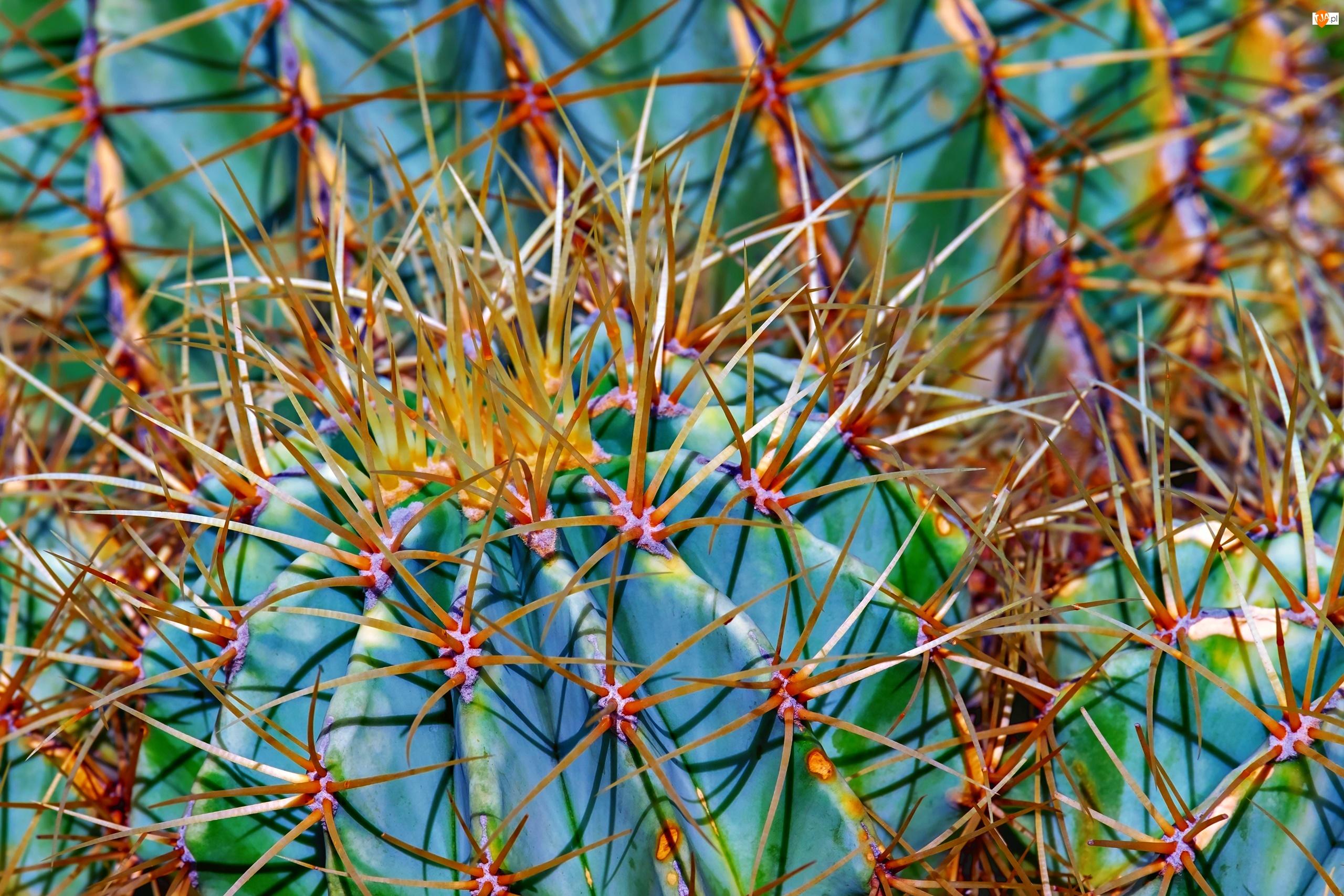 Zbliżenie, Kaktus, Kolce