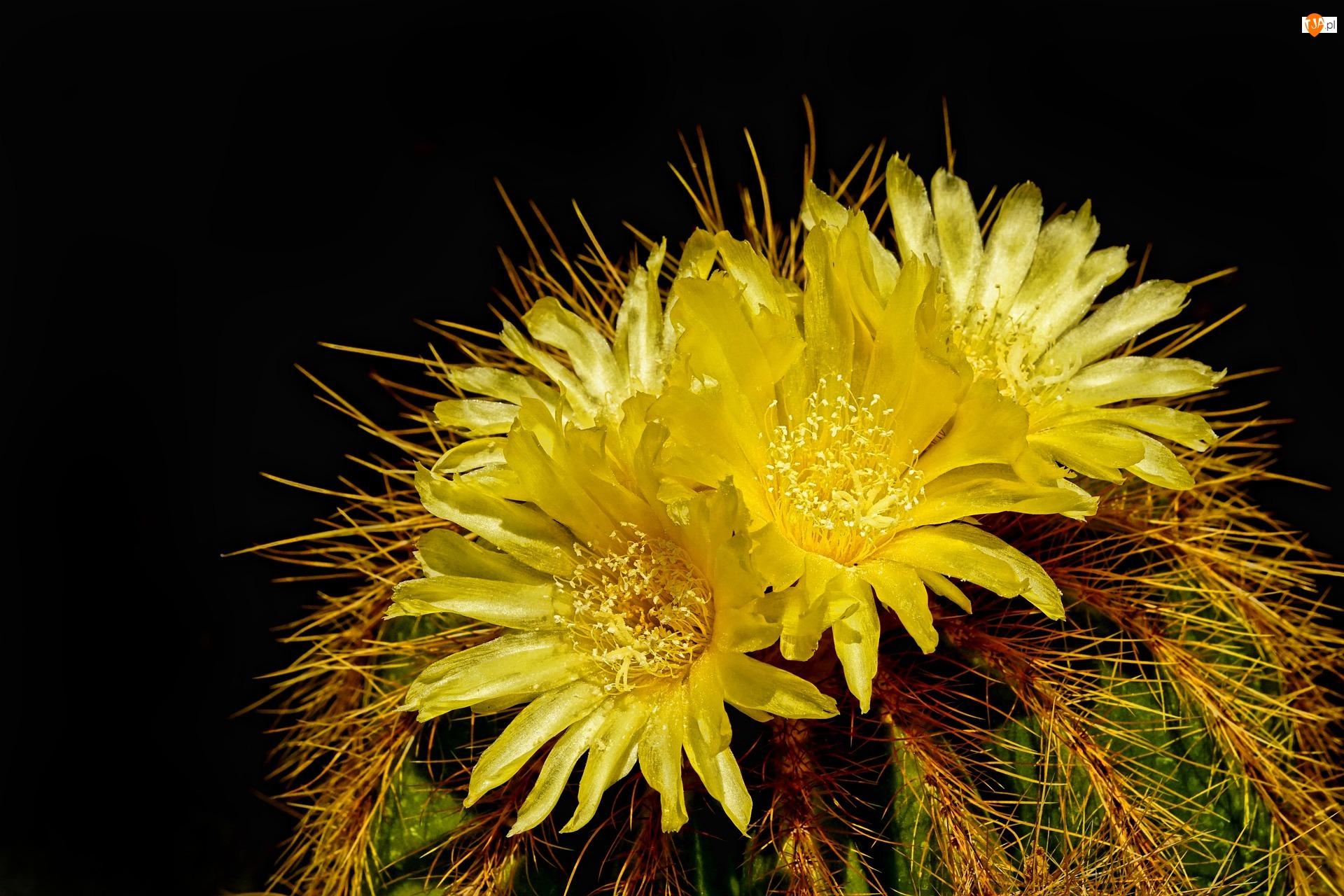 Kwiaty, Kwitnący, Kaktus, Żółte