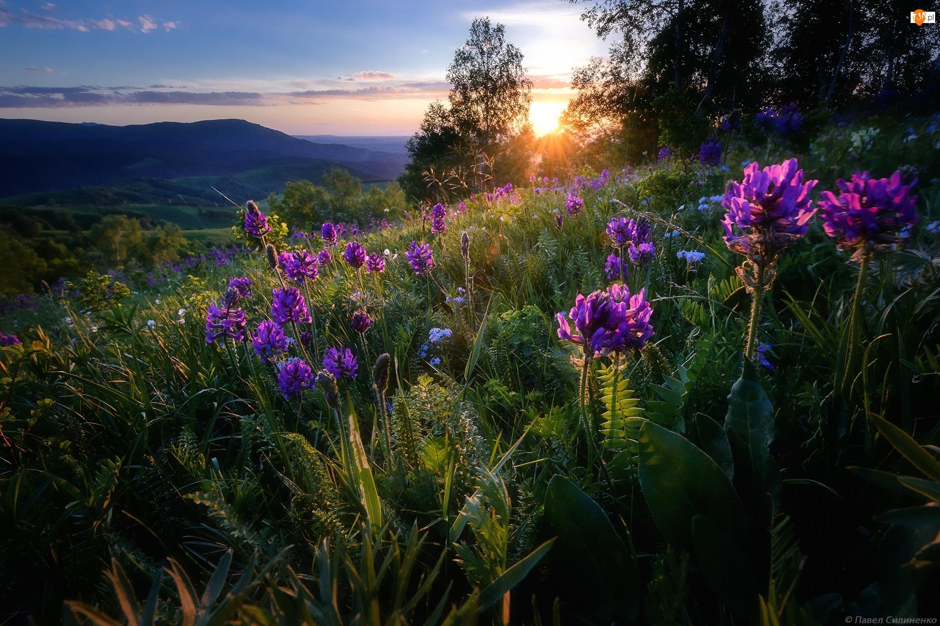 Traganek, Promienie słońca, Kwiaty, Łąka, Wzgórze