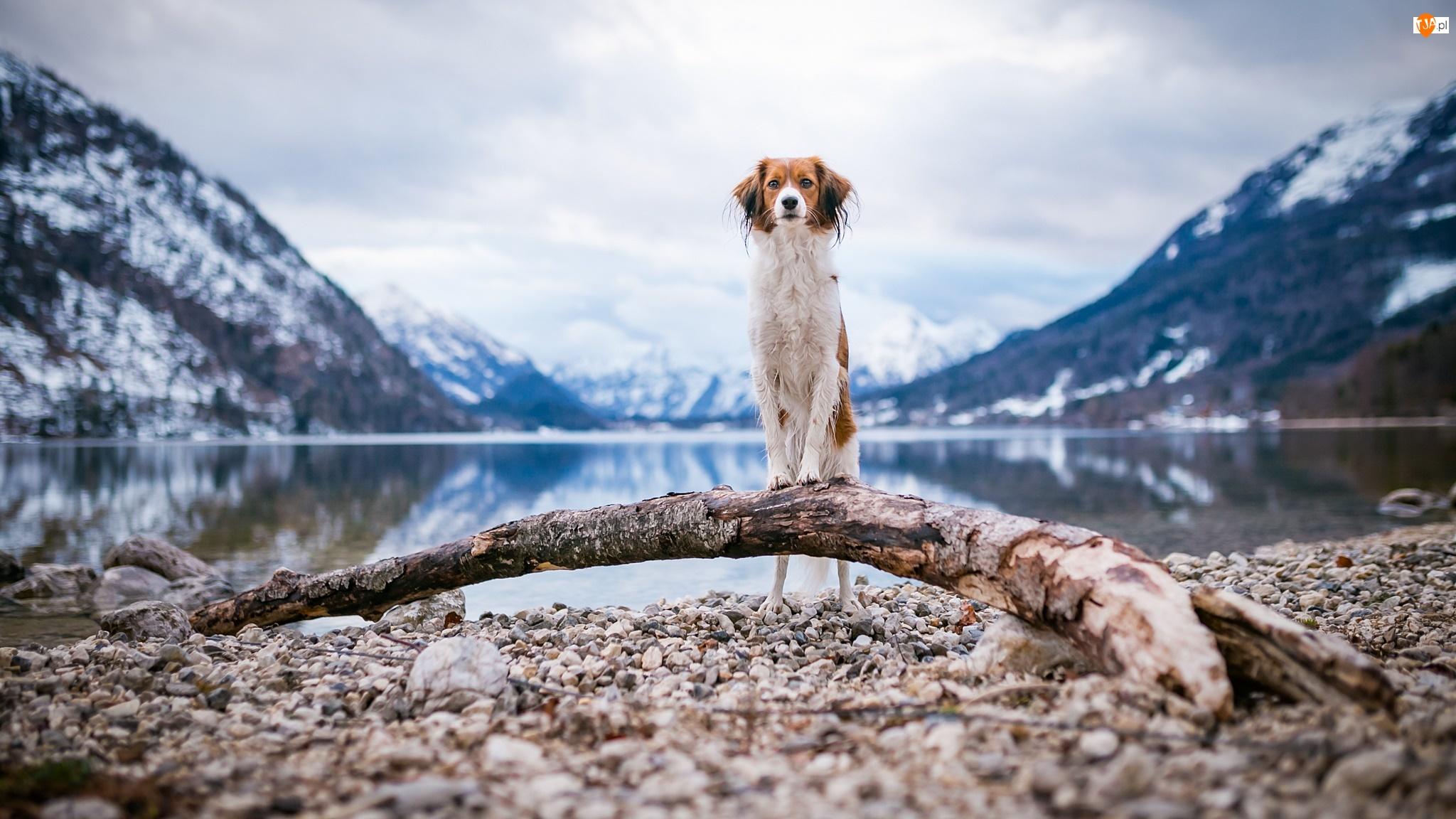 Płochacz holenderski, Kooikerhondje, Góry, Pies, Woda, Kłoda, Kamienie