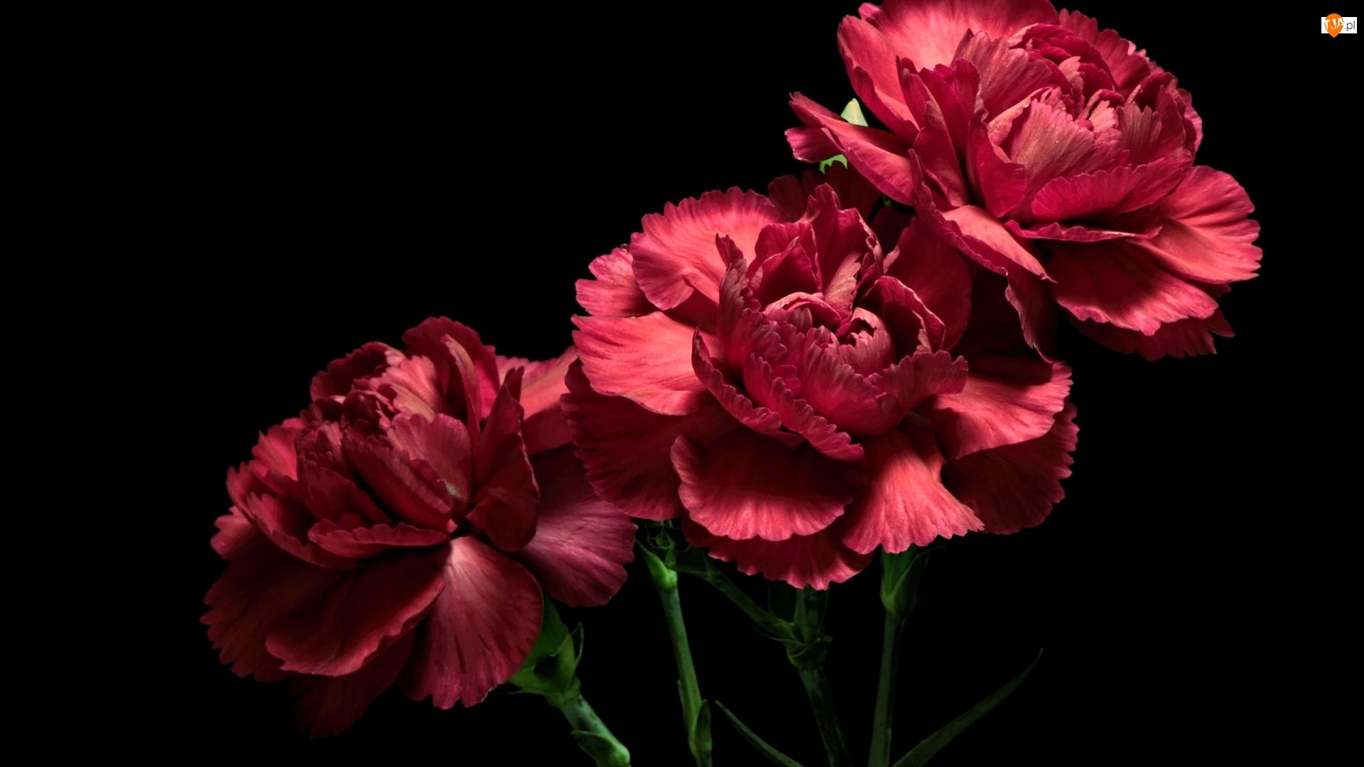 Ciemne tło, Kwiaty, Goździki