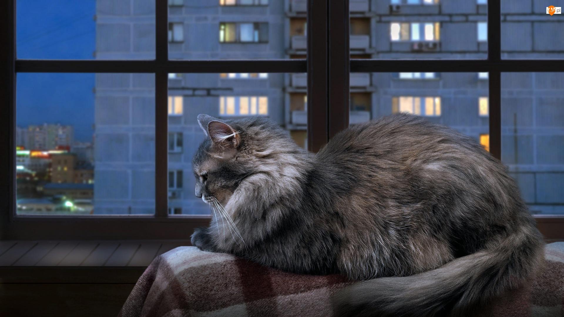 Koc, Kot norweski leśny, Okno, Parapet