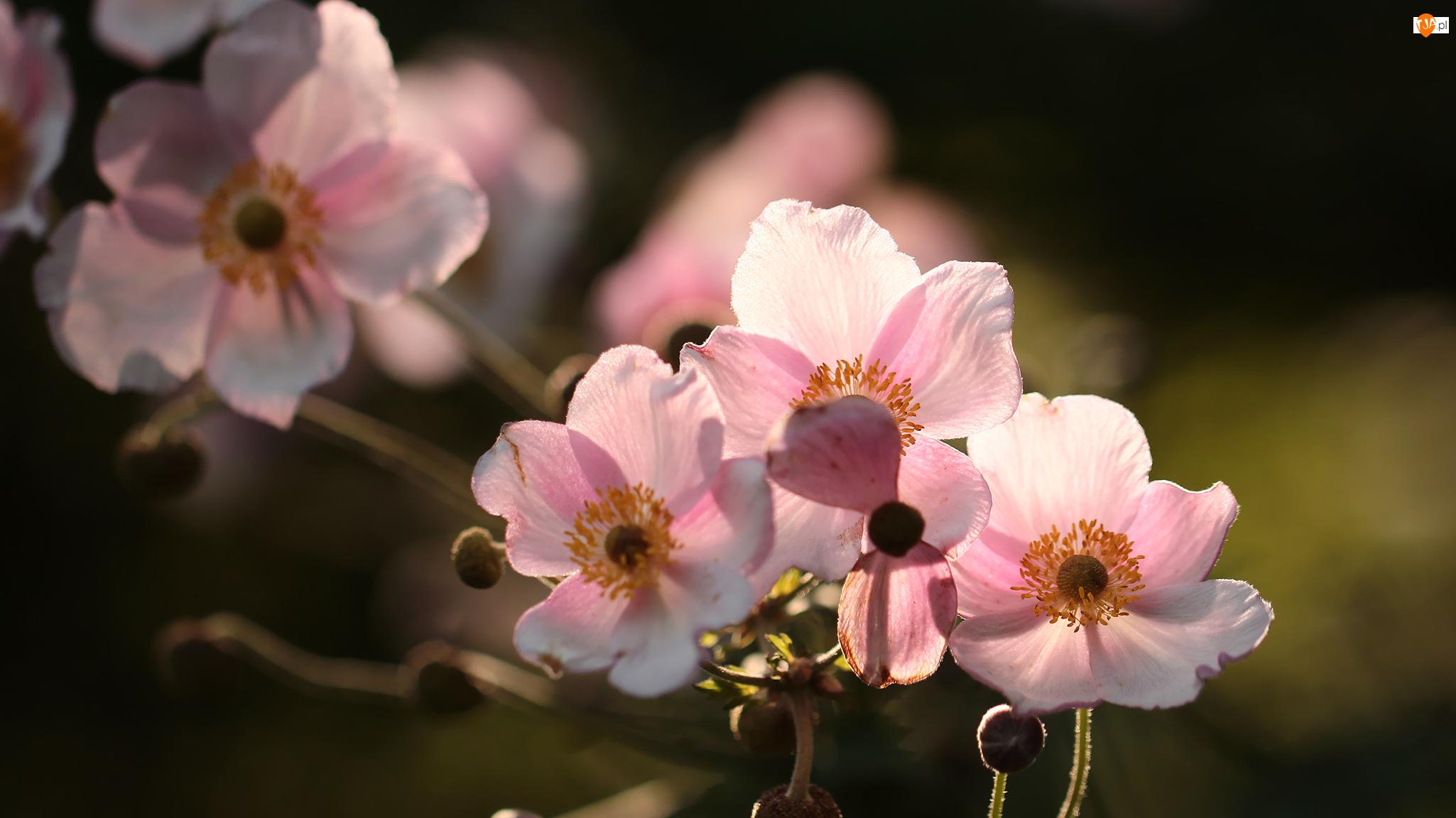 Kwiaty, Zawilce japońskie, Różowe