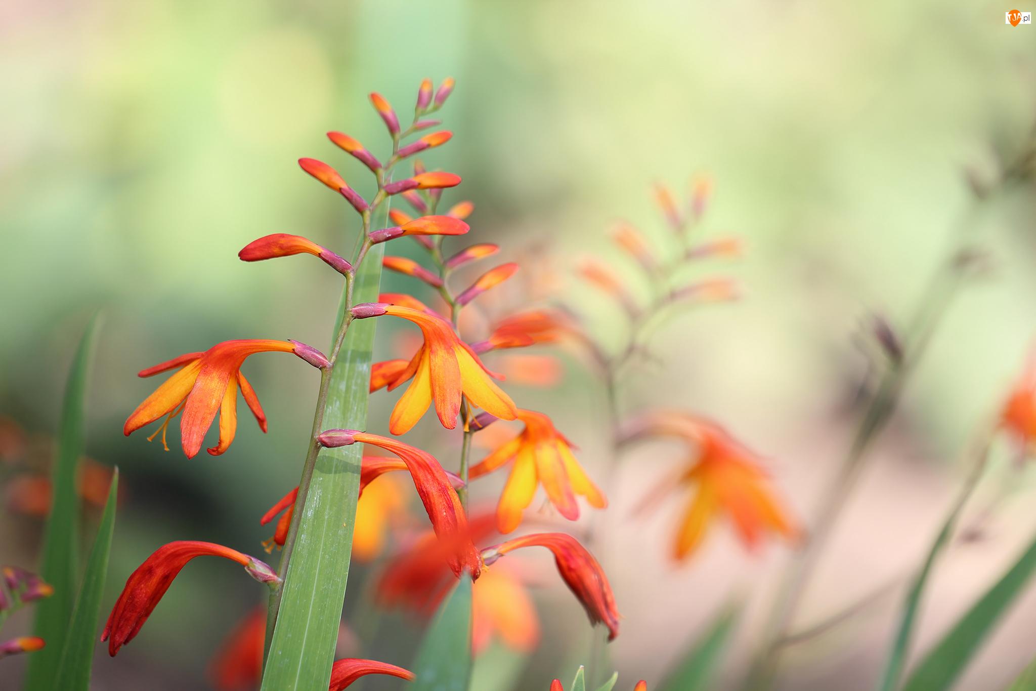 Kwiaty, Krokosmia, Czerwone