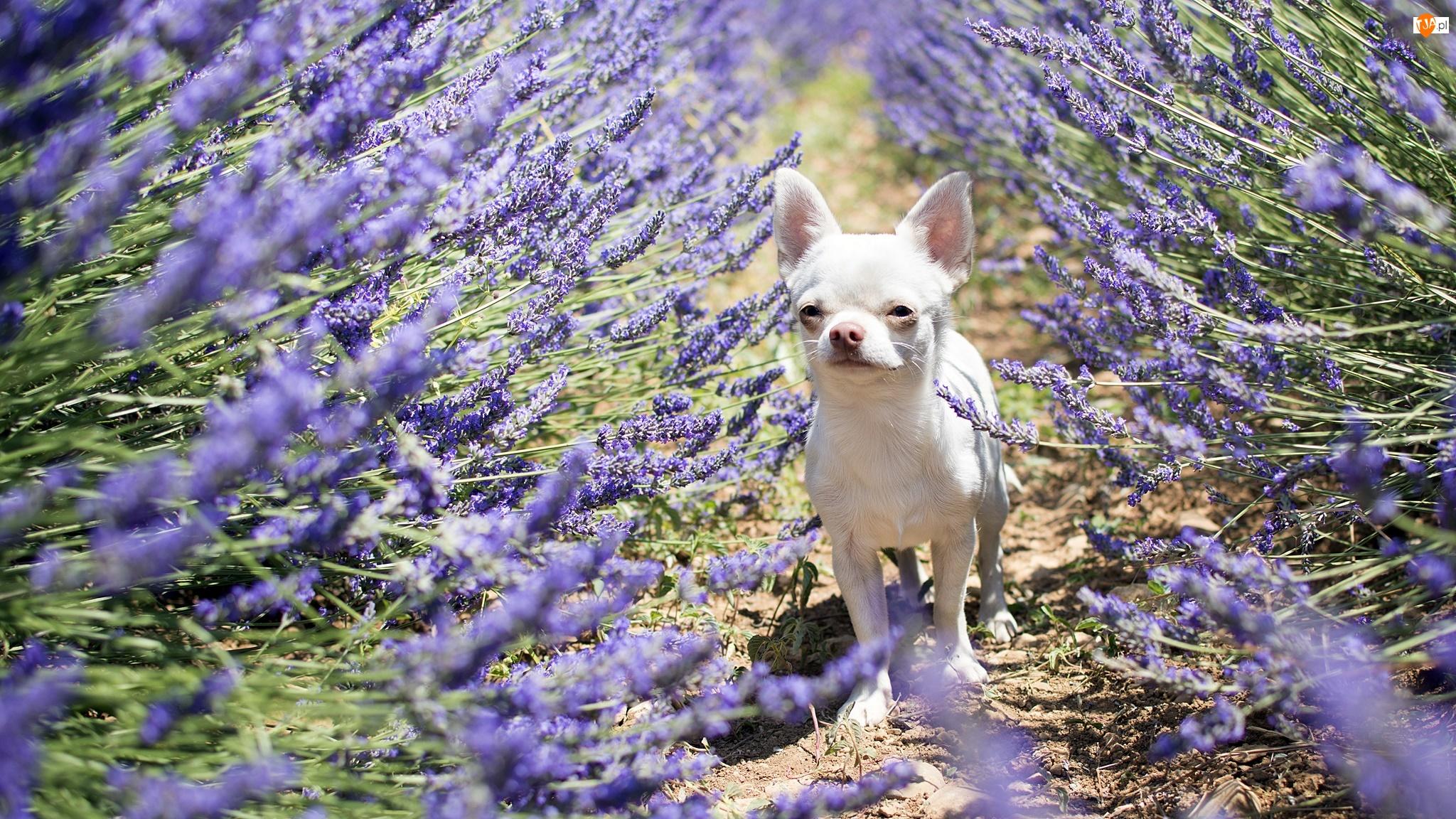 Lawenda, Pies, Chihuahua krótkowłosa
