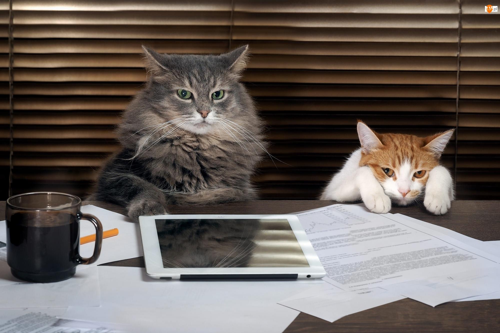 Koty, Tablet, Kot, Dwa, Zrezygnowany, Kawa, Dokumenty
