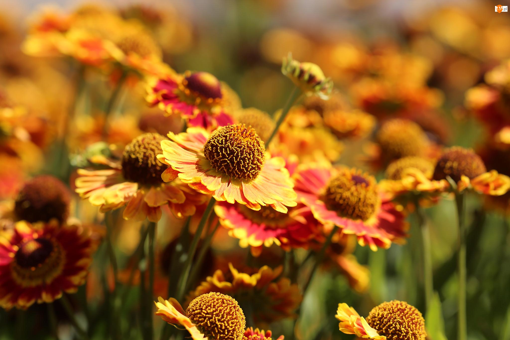Kwiaty, Dzielżany ogrodowe