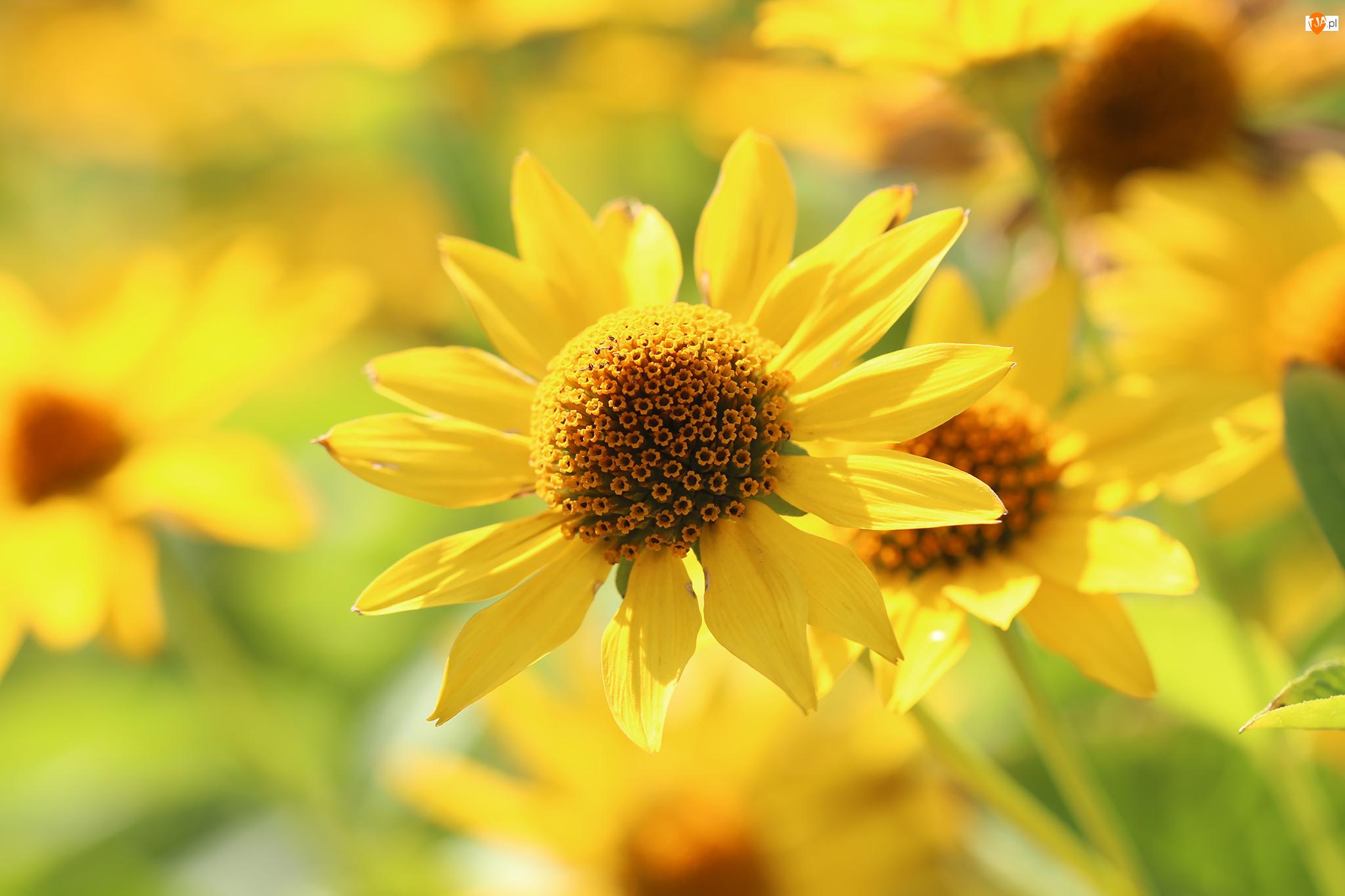 Kwiat, Słoneczniczek, Żółty