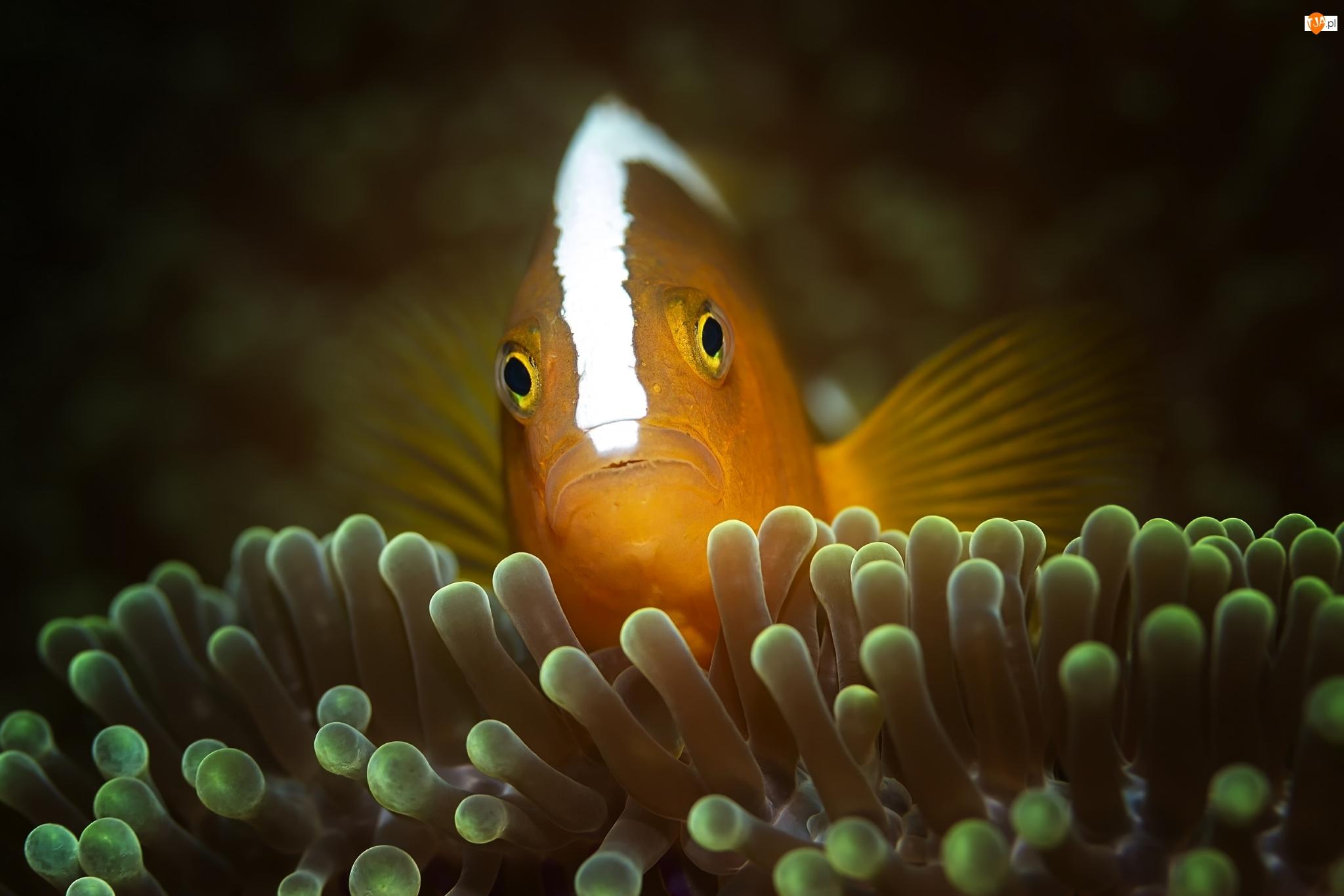 Orange skunk clownfish, Rybka, Błazenek