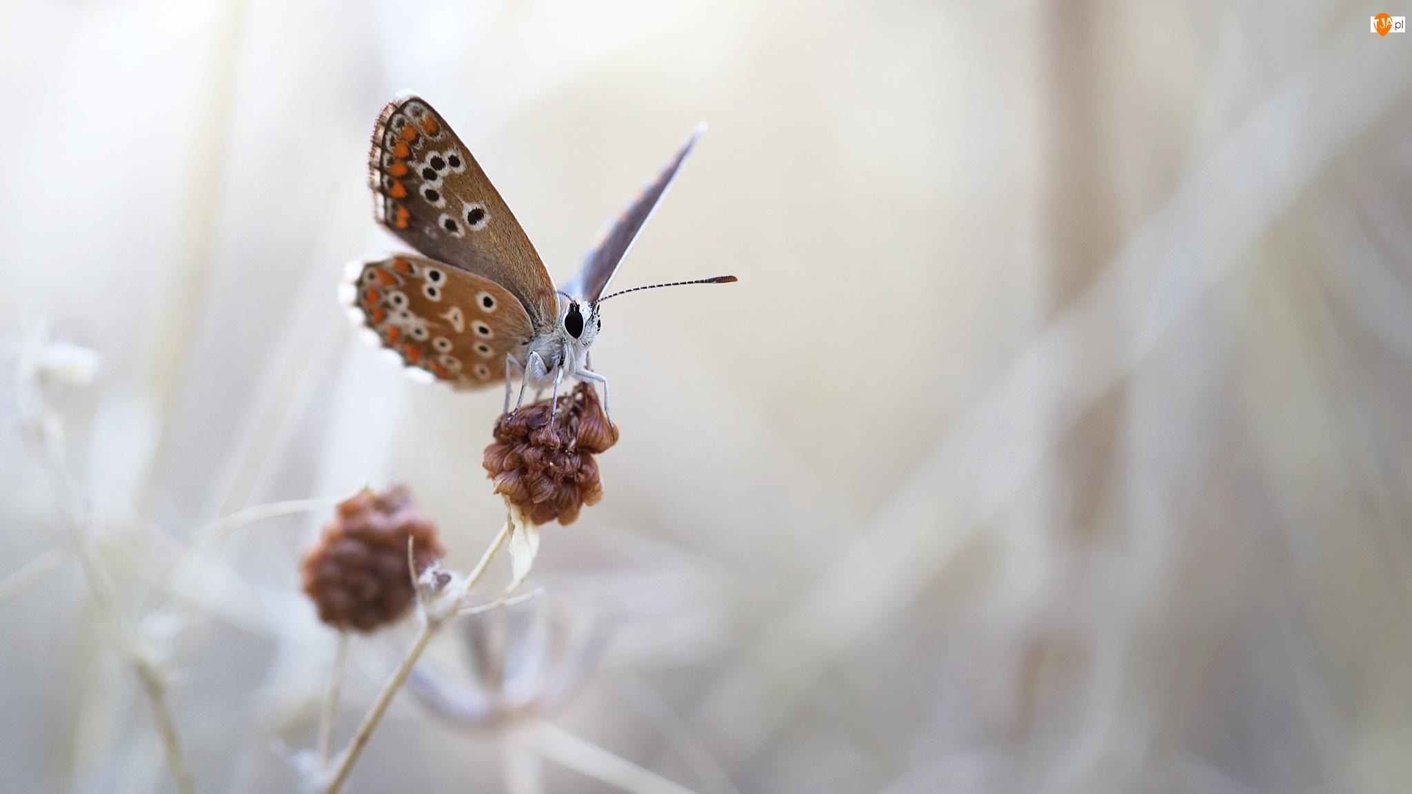 Modraszek ikar, Motyl, Macro, Tło, Roślina, Rozmyte