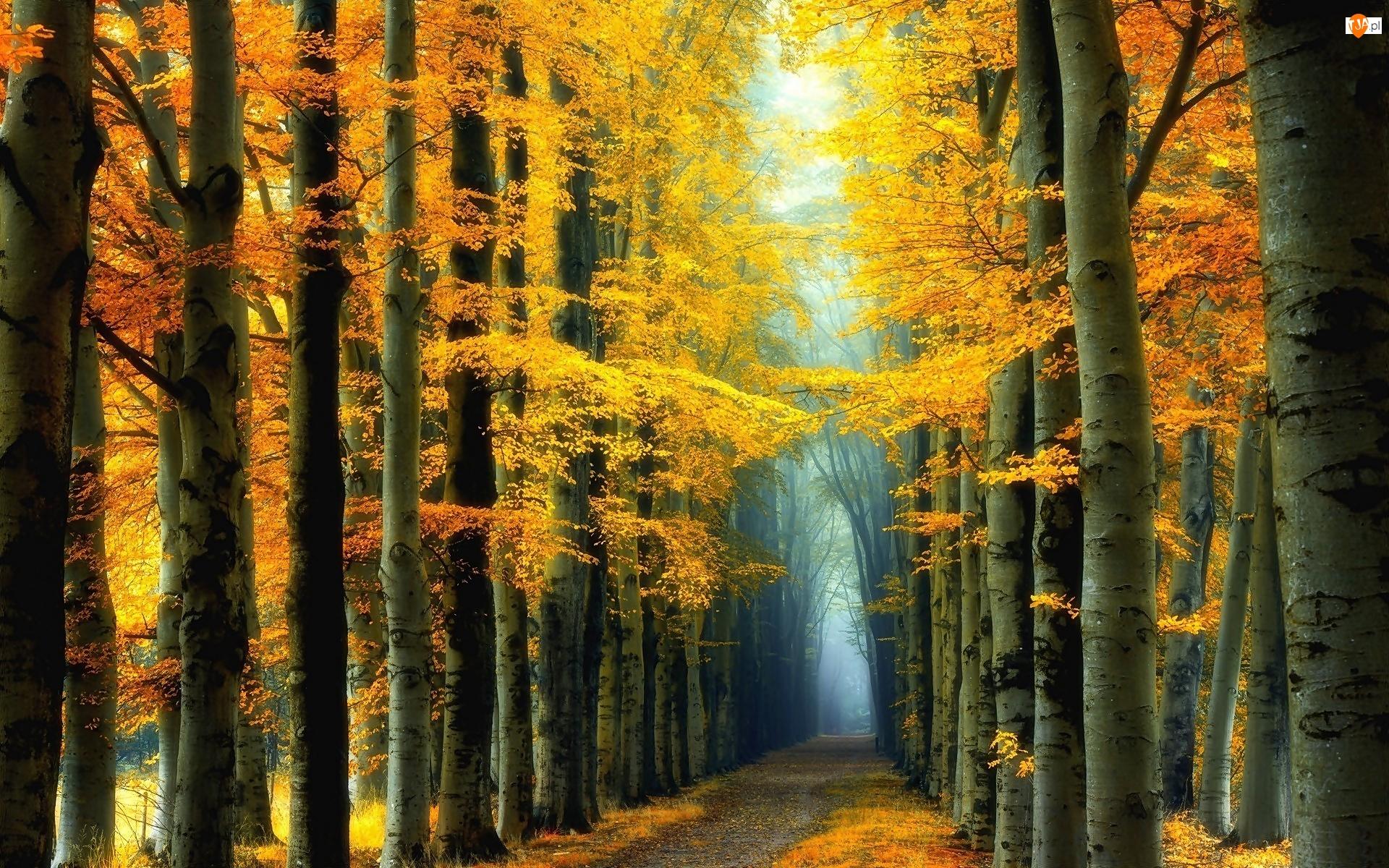 Droga, Las, Topole osikowe, Jesień, Drzewa, Mgła