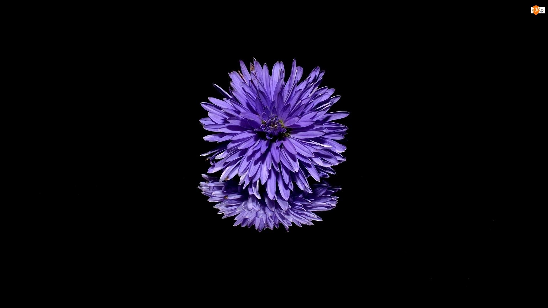 Odbicie, Kwiat, Aster, Ciemne tło