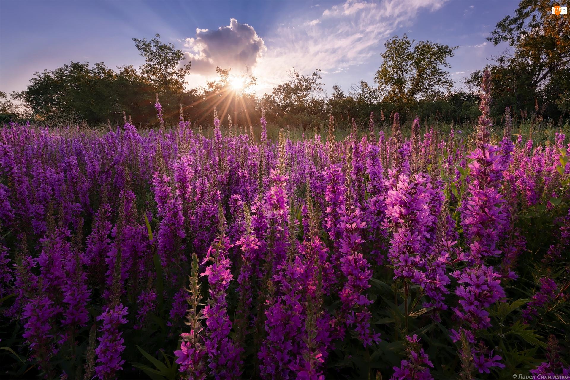 Promienie słońca, Kwiaty, Krwawnica pospolita, Łąka