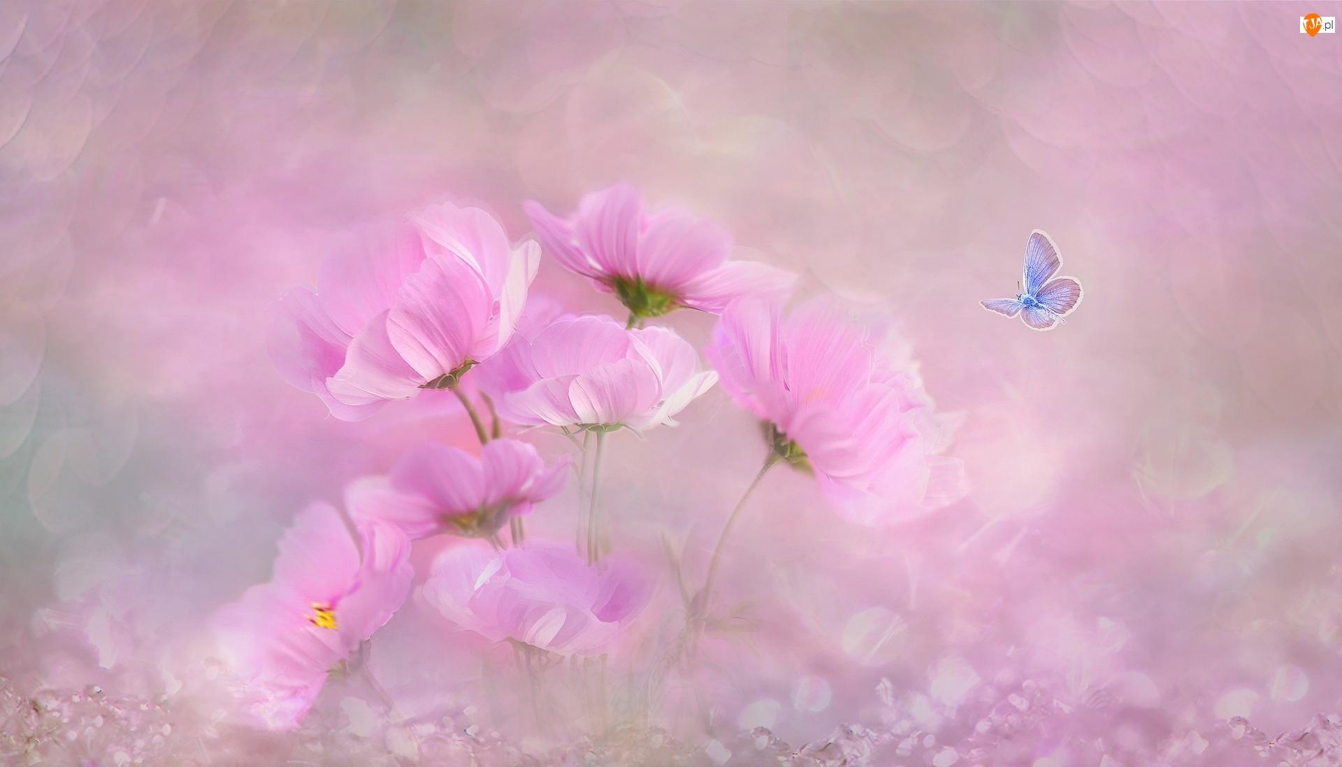 Kosmea, Modraszek ikar, Kwiaty, Różowe, Motyl