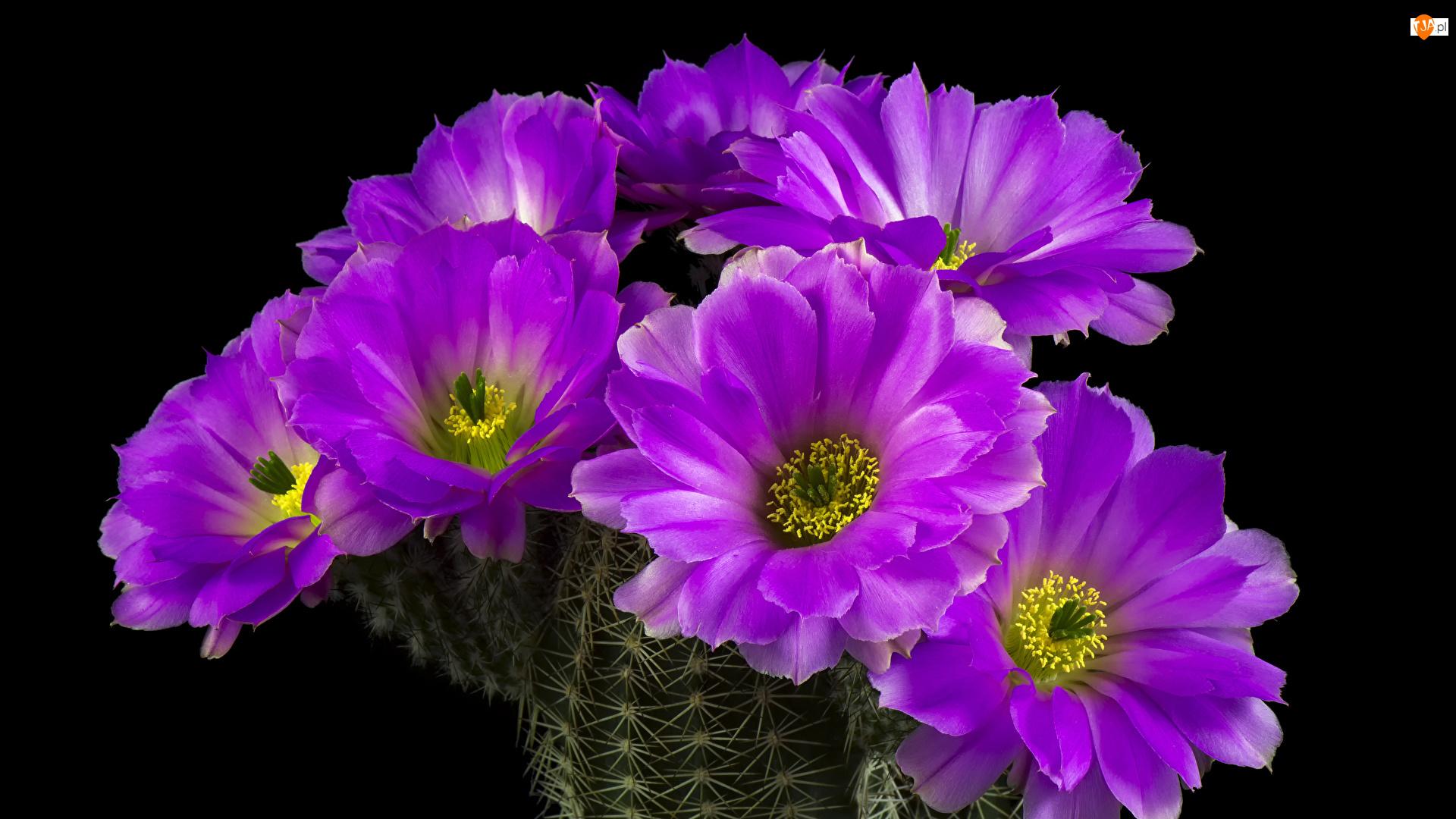 Echinocereus reichenbachii, Kaktus, Kwiaty, Czarne tło, Fioletowe, Zbliżenie