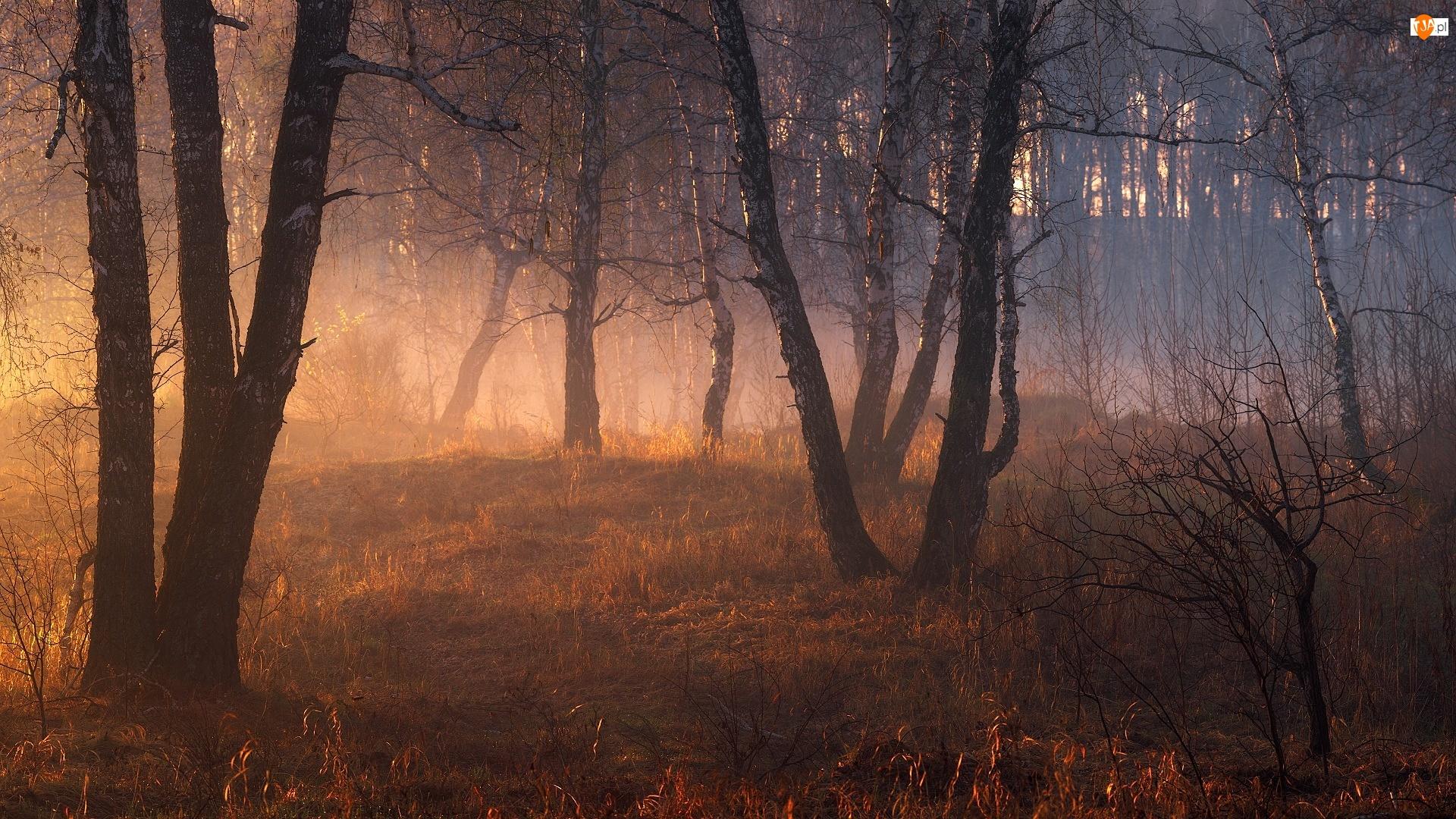 Drzewa, Las, Mgła, Słoneczne, Brzozy, Światło