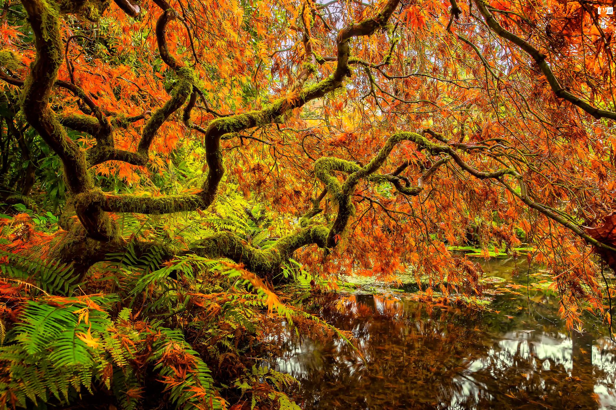 Klon japoński, Liście, Drzewa, Staw, Jesień