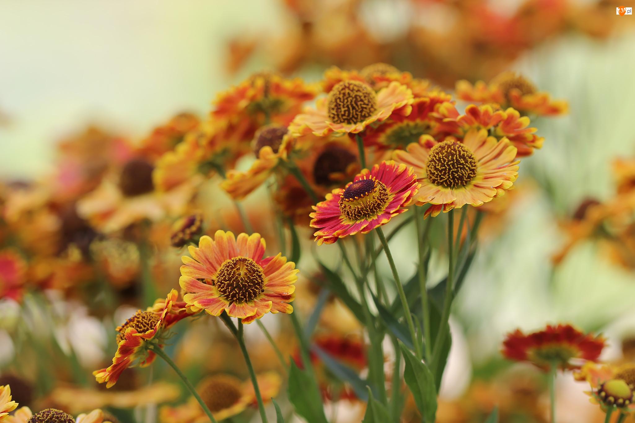 Rozwinięte, Dzielżan ogrodowy, Kwiaty