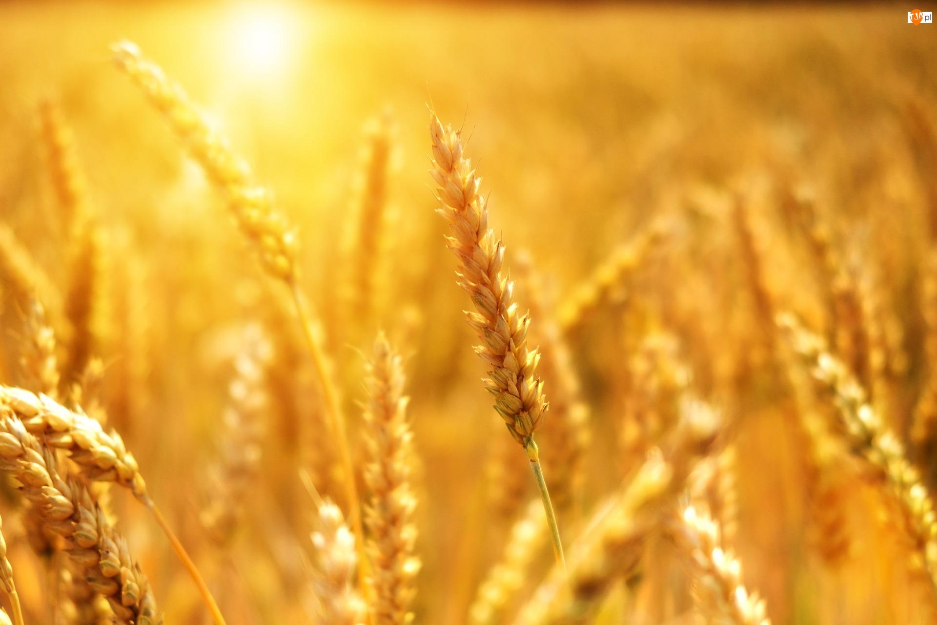 Zboże, Kłos, Pszenica, Nasiona