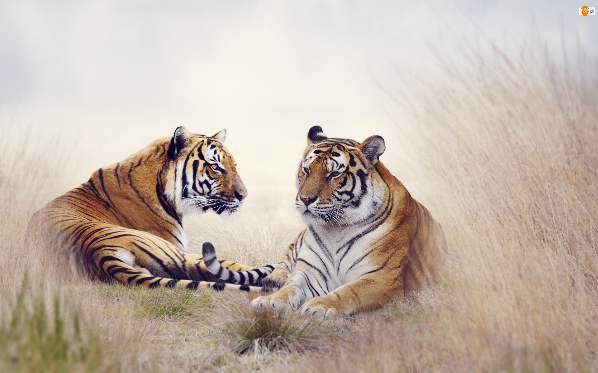 Tło w rozmyciu, Dwa, Tygrysy, Trawa
