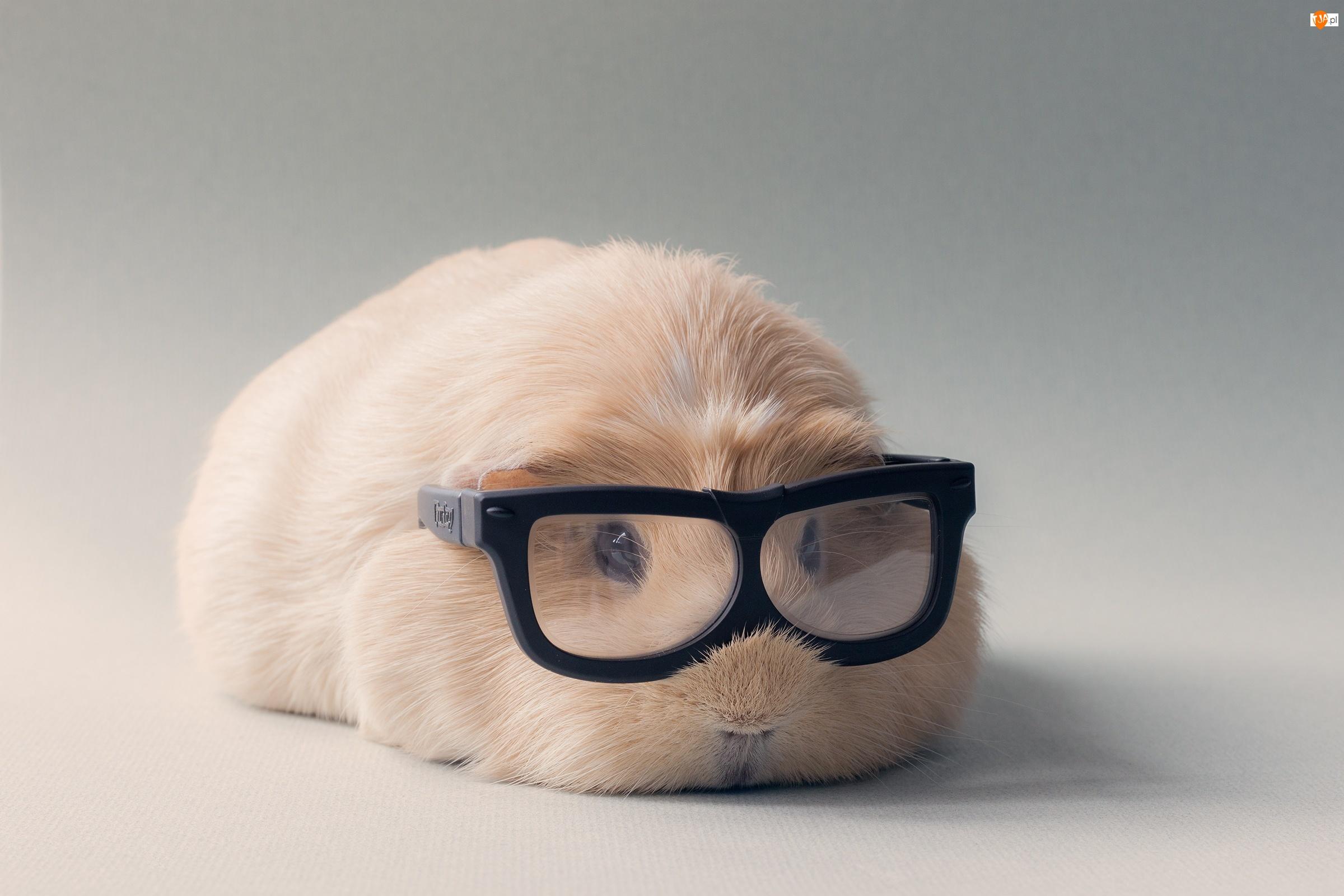 Śmieszne, Świnka, Morska, Okulary