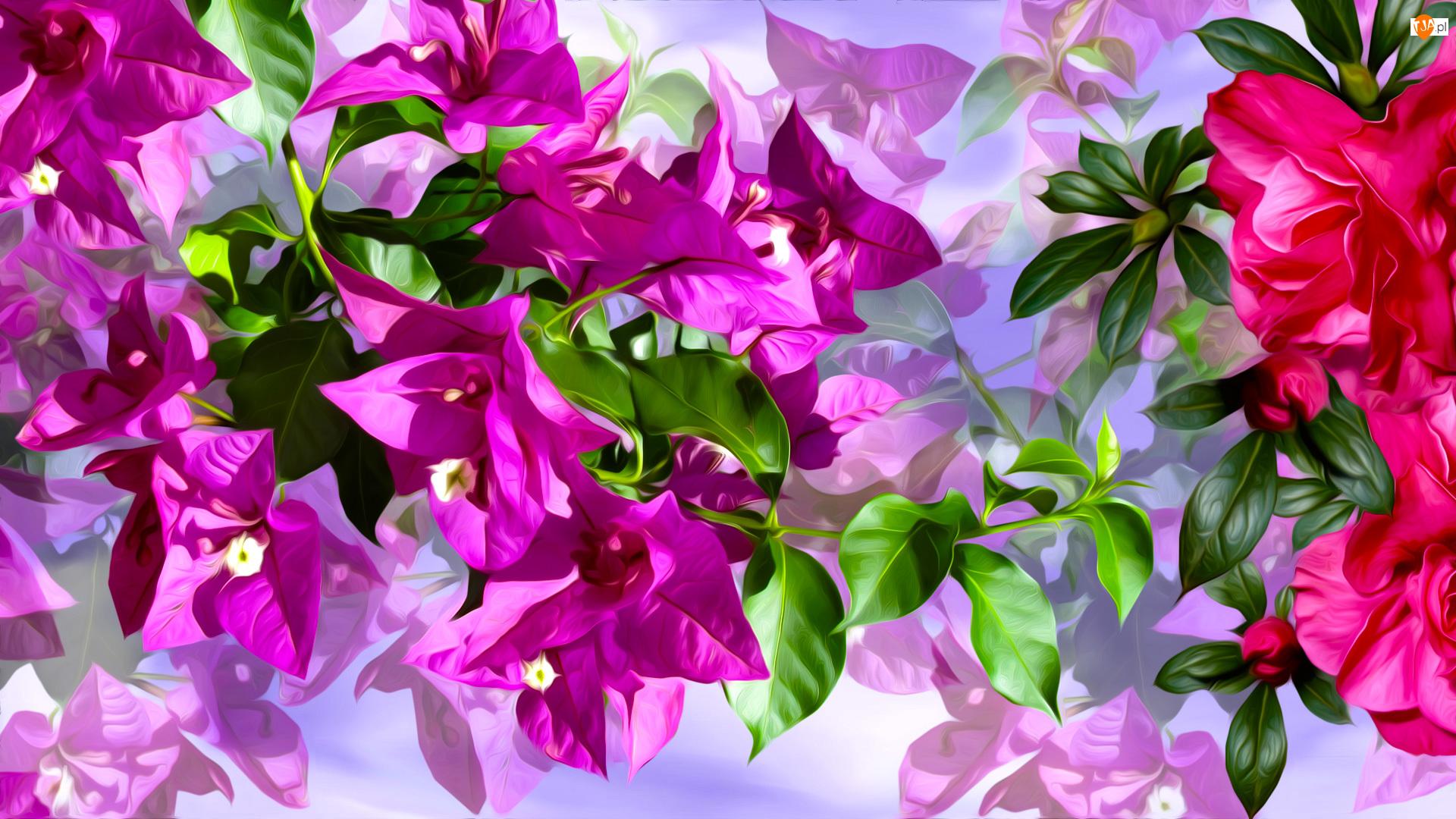 Grafika, Różowe, Kwiaty, Bugenwilla