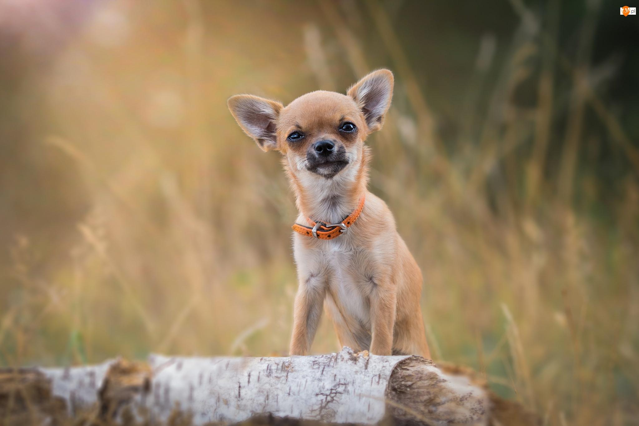 Obroża, Chihuahua, Piesek, Pomarańczowa