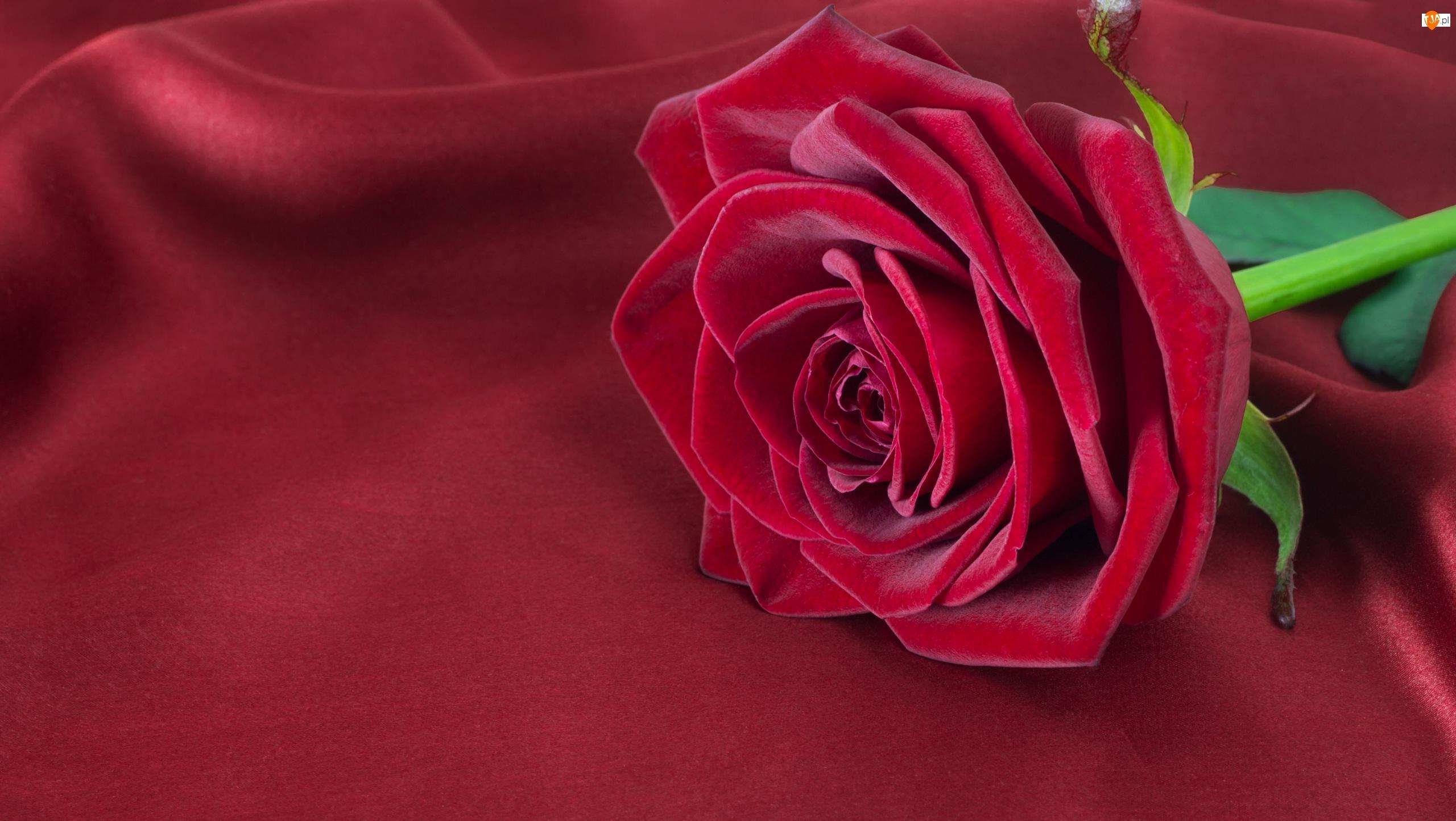 Róża, Czerwona, Rozkwinięta