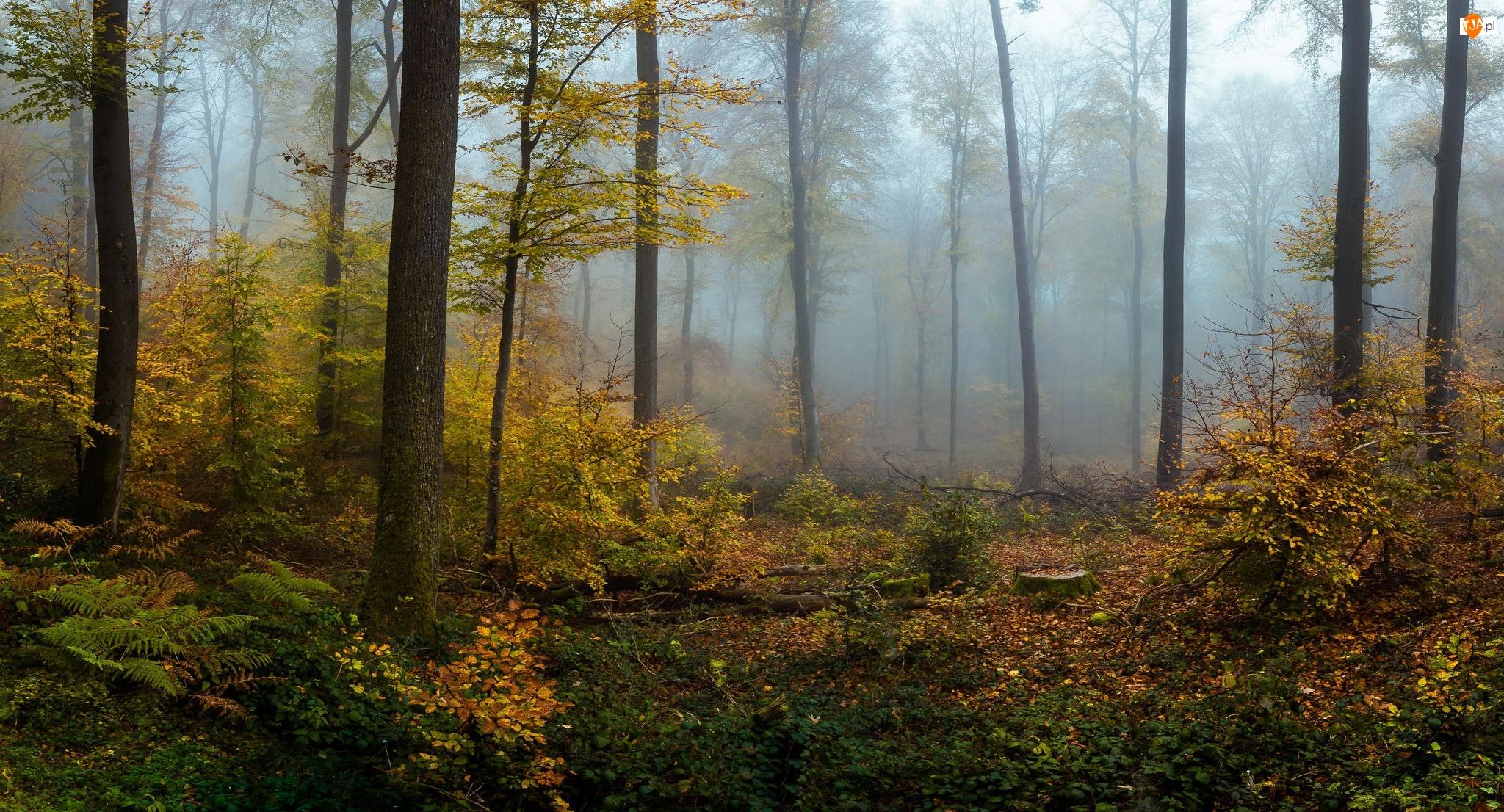 Rośliny, Jesień, Drzewa, Las, Mgła