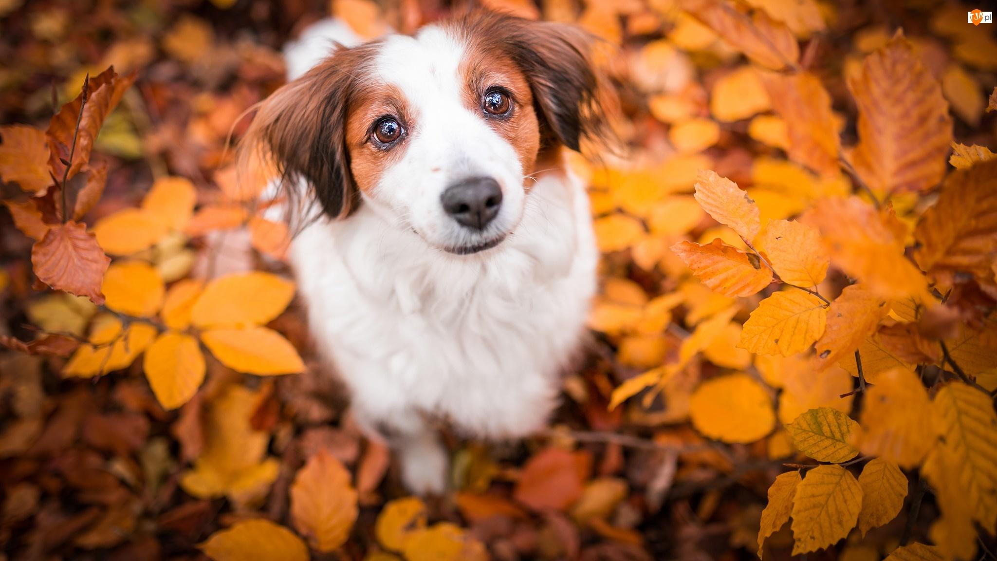 Liście, Pies, Płochacz holenderski, Kooikerhondje