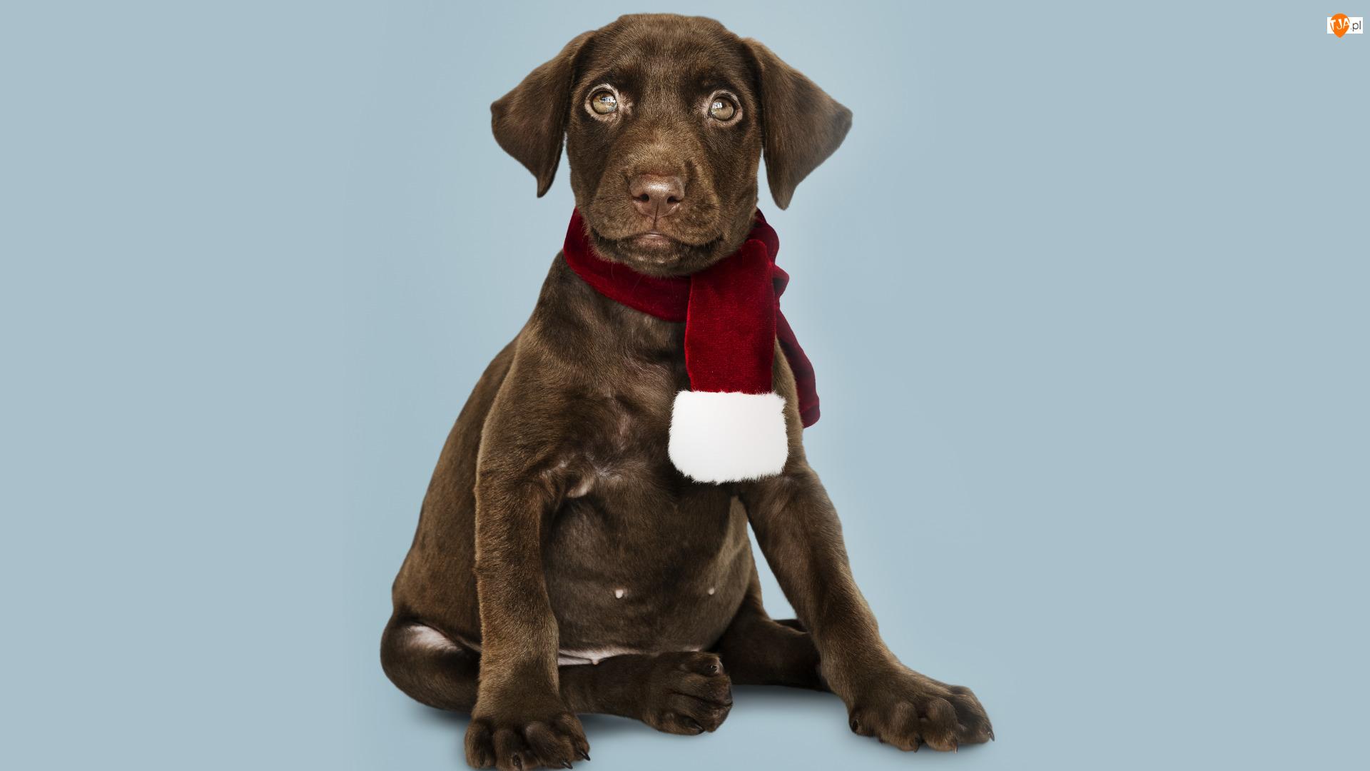 Szczeniak, Szalik, Brązowy, Pies, Labrador retriever