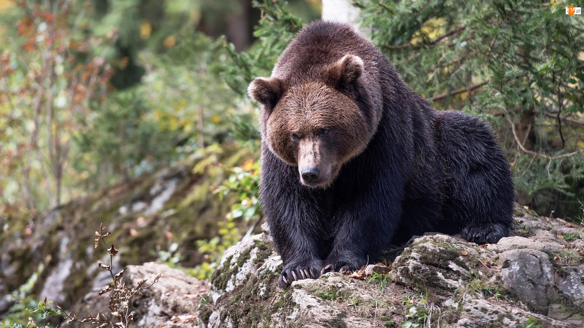 Skała, Niedźwiedź brunatny