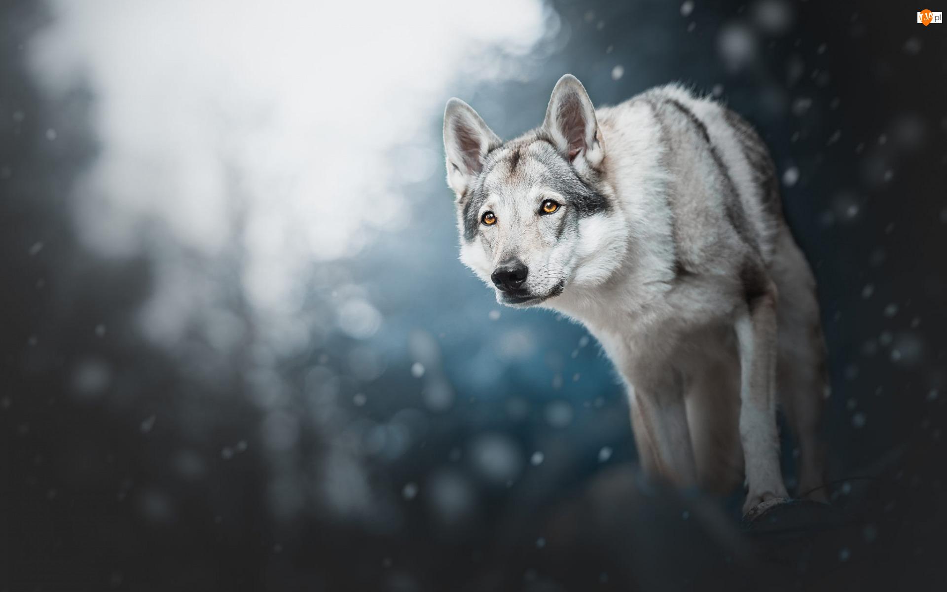 Pies, Wilczak czechosłowacki