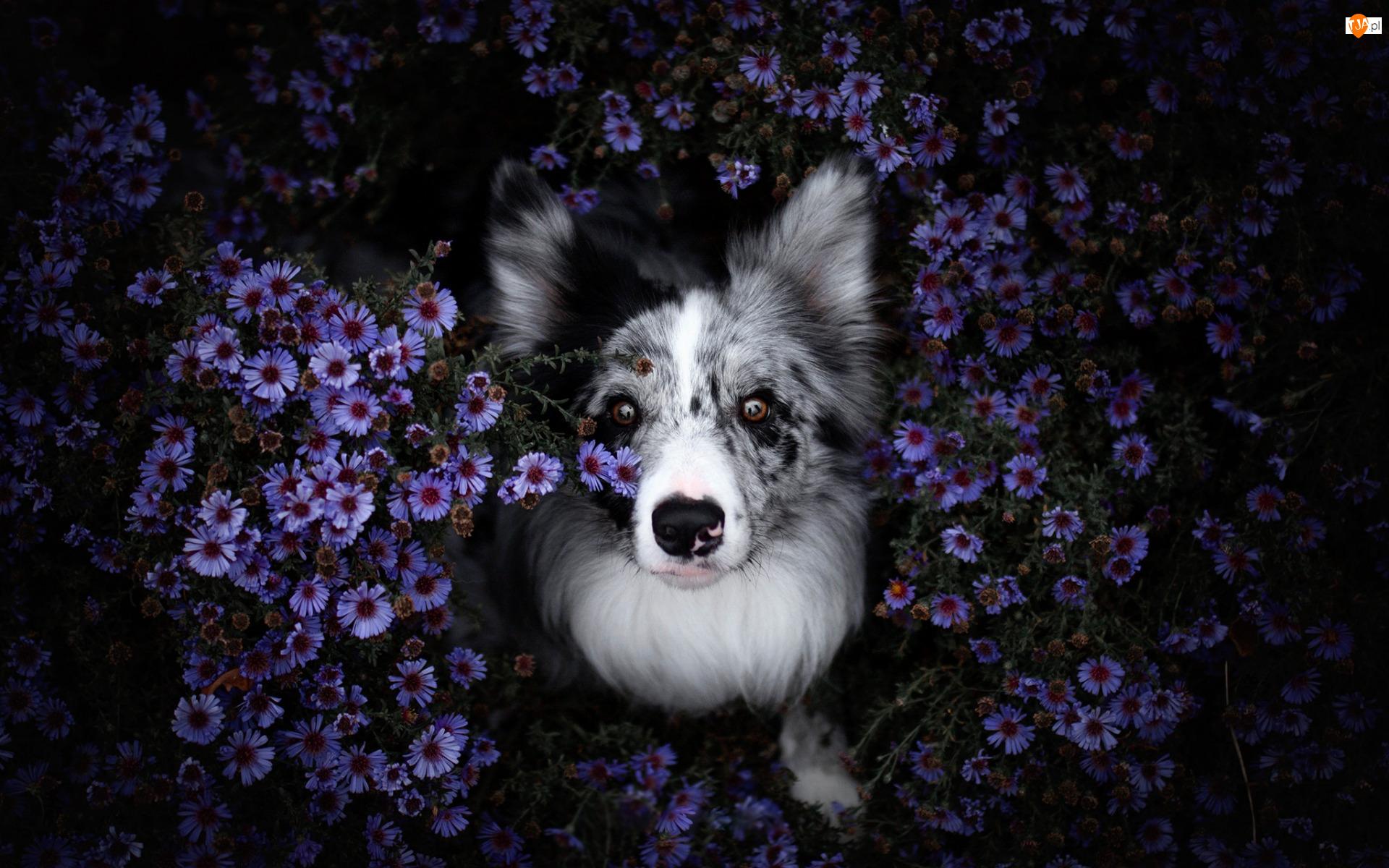 Astry marcinki, Pies, Border collie, Kwiaty