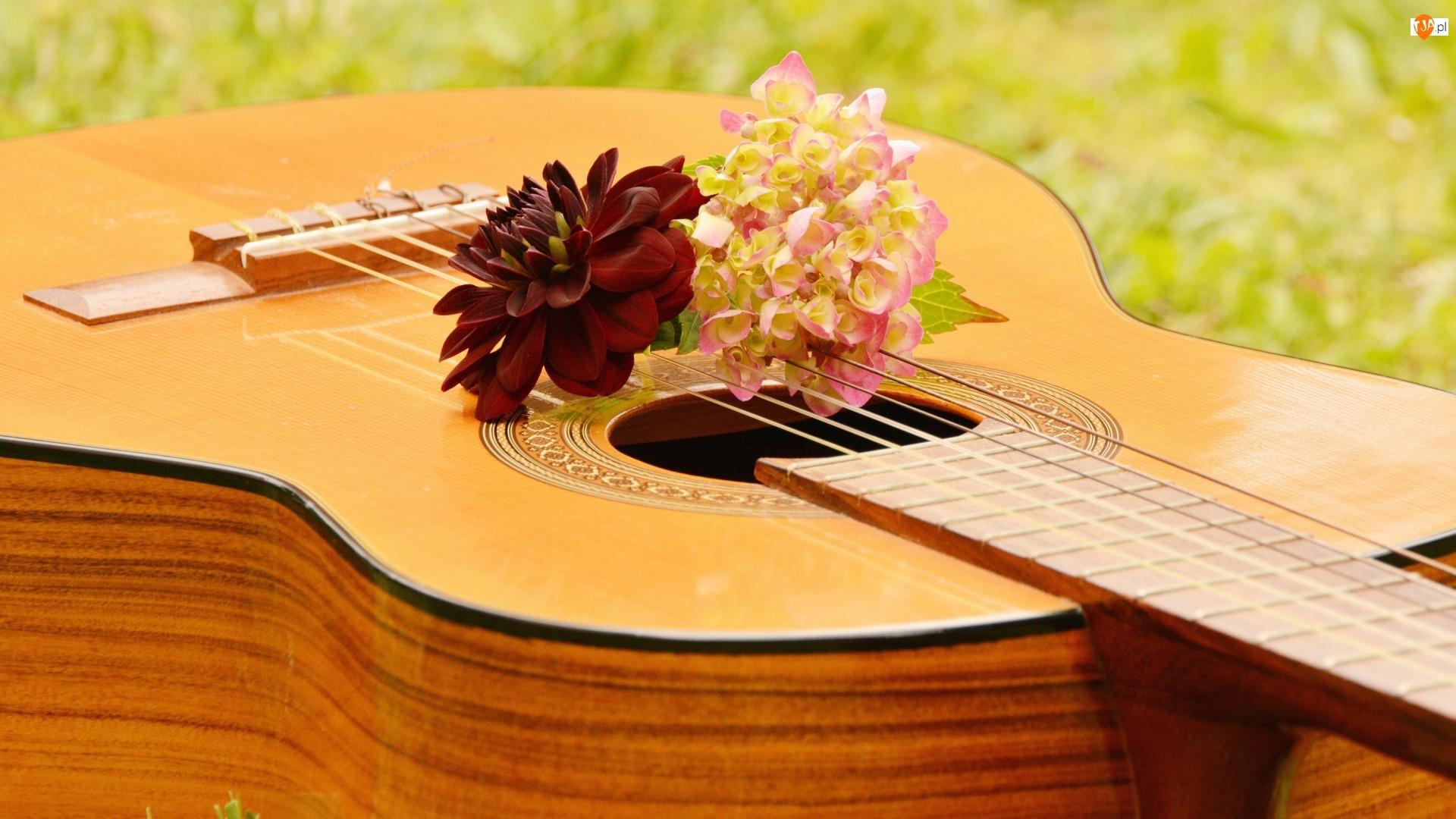 Dalia, Gitara, Kwiaty, Hortensja