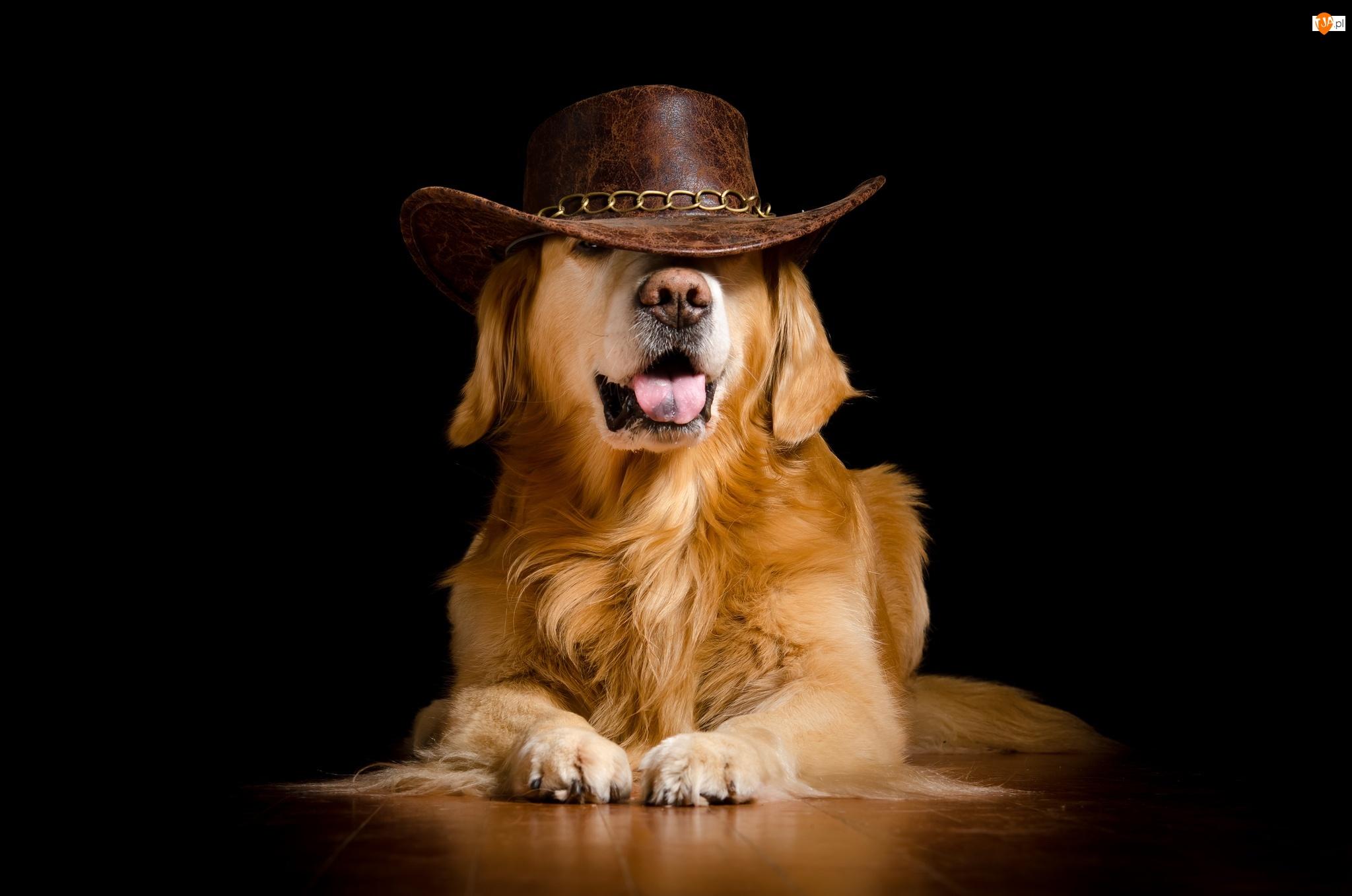 Kapelusz, Śmieszne, Pies, Golden retriever