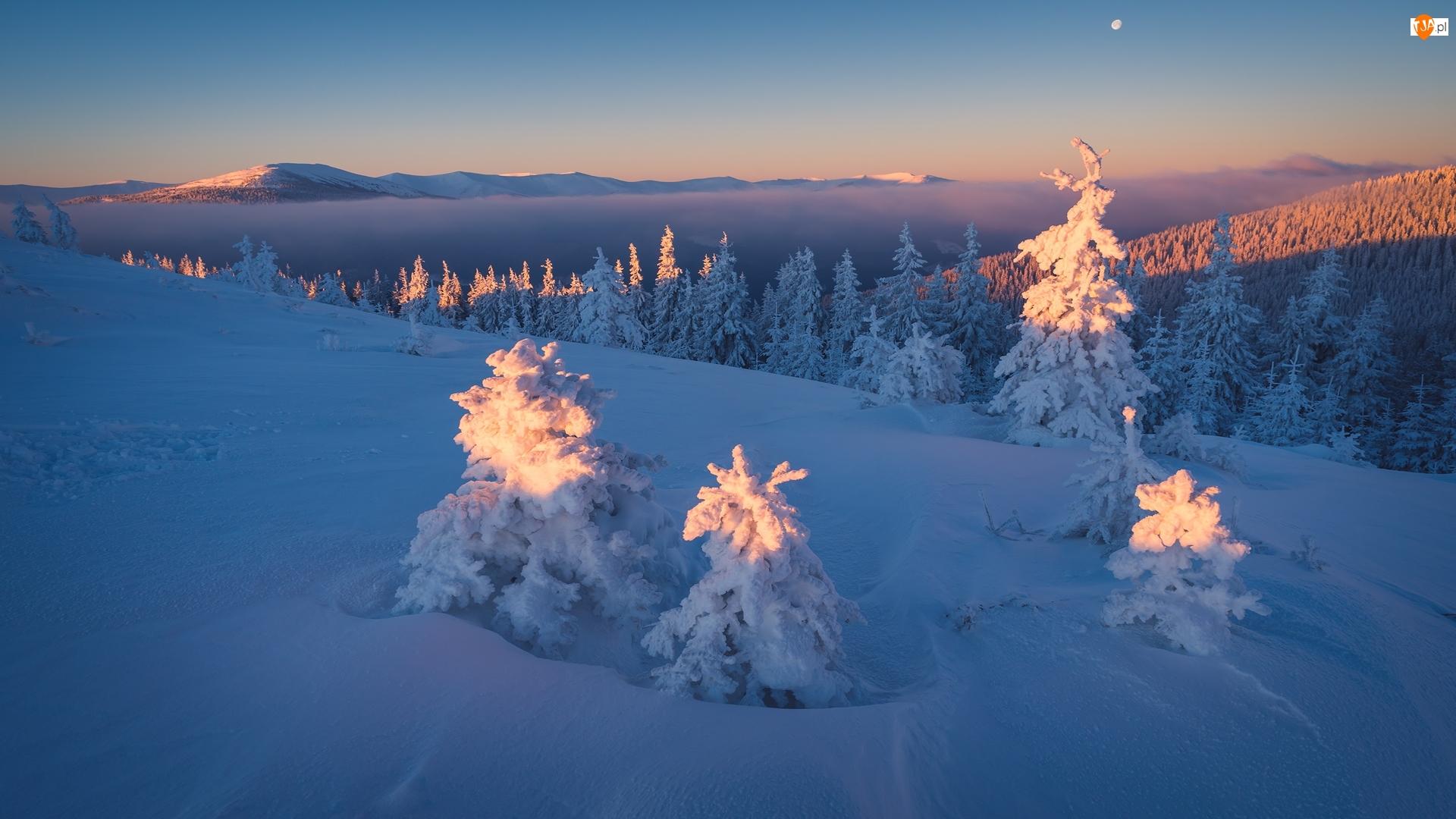 Góry Karpaty, Zima, Ośnieżone, Ukraina, Las, Świerki