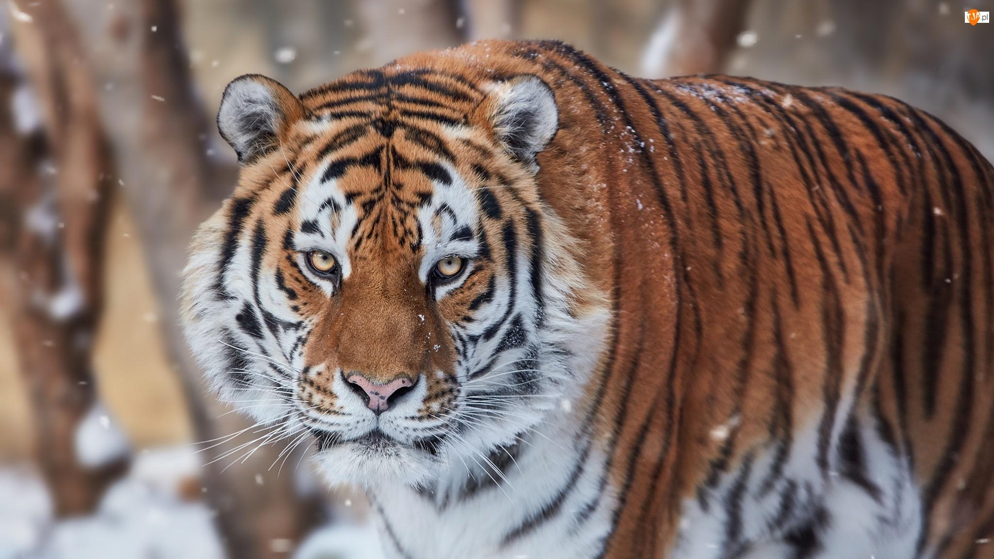 Śnieg, Tygrys, Padający