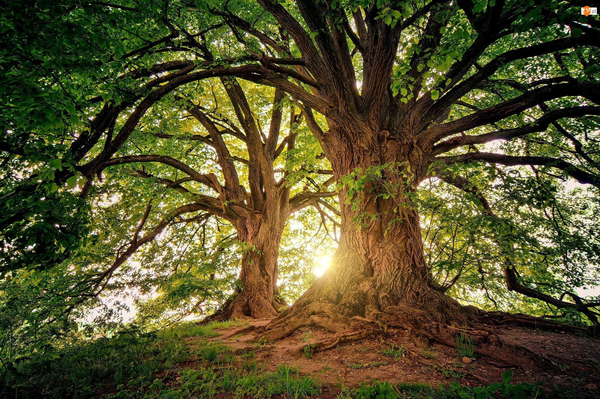 Słoneczne, Dwa, Drzewa, Światło