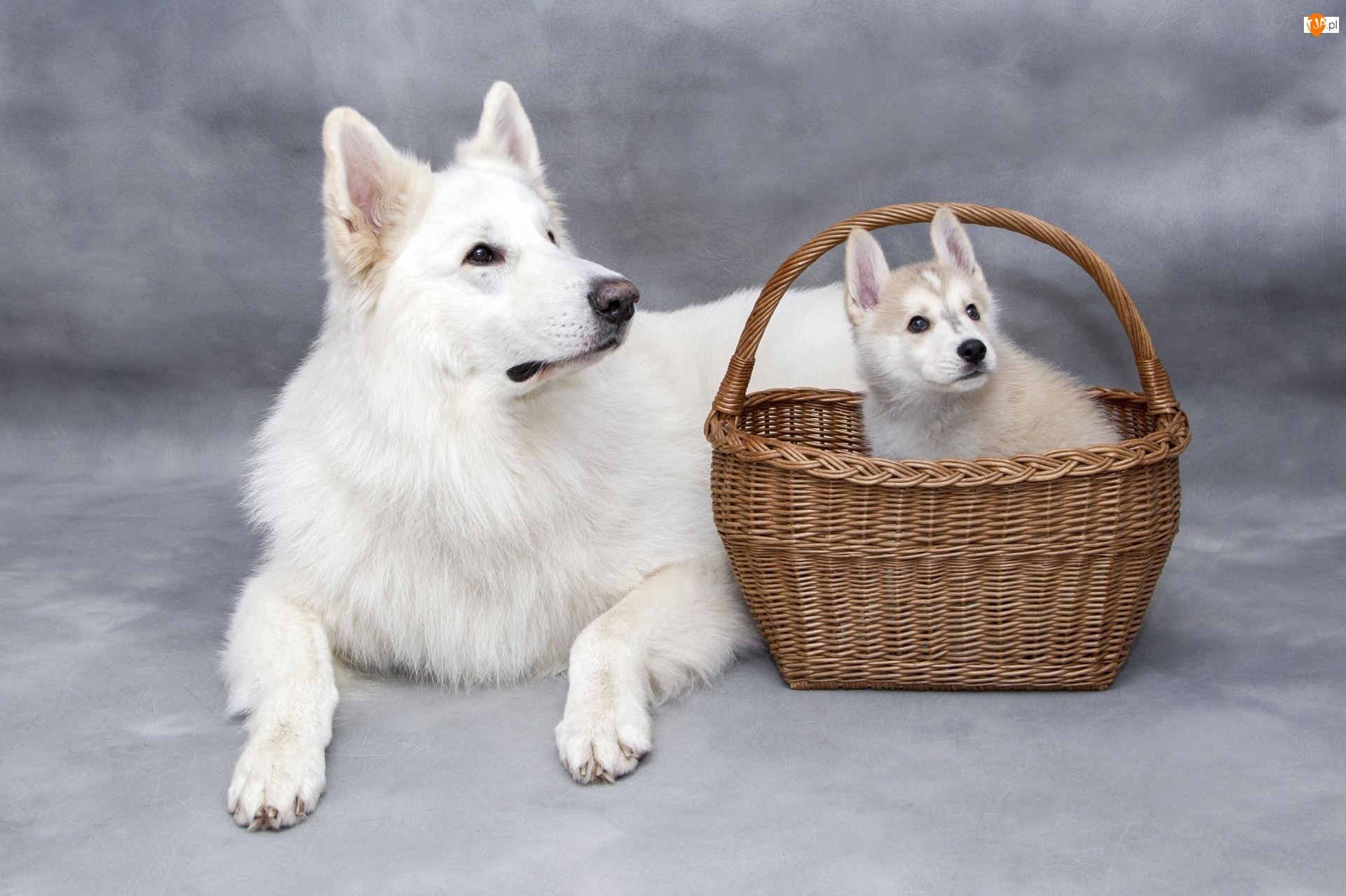 Biały owczarek szwajcarski, Pies, Siberian husky, Koszyk, Szczeniak, Wiklinowy