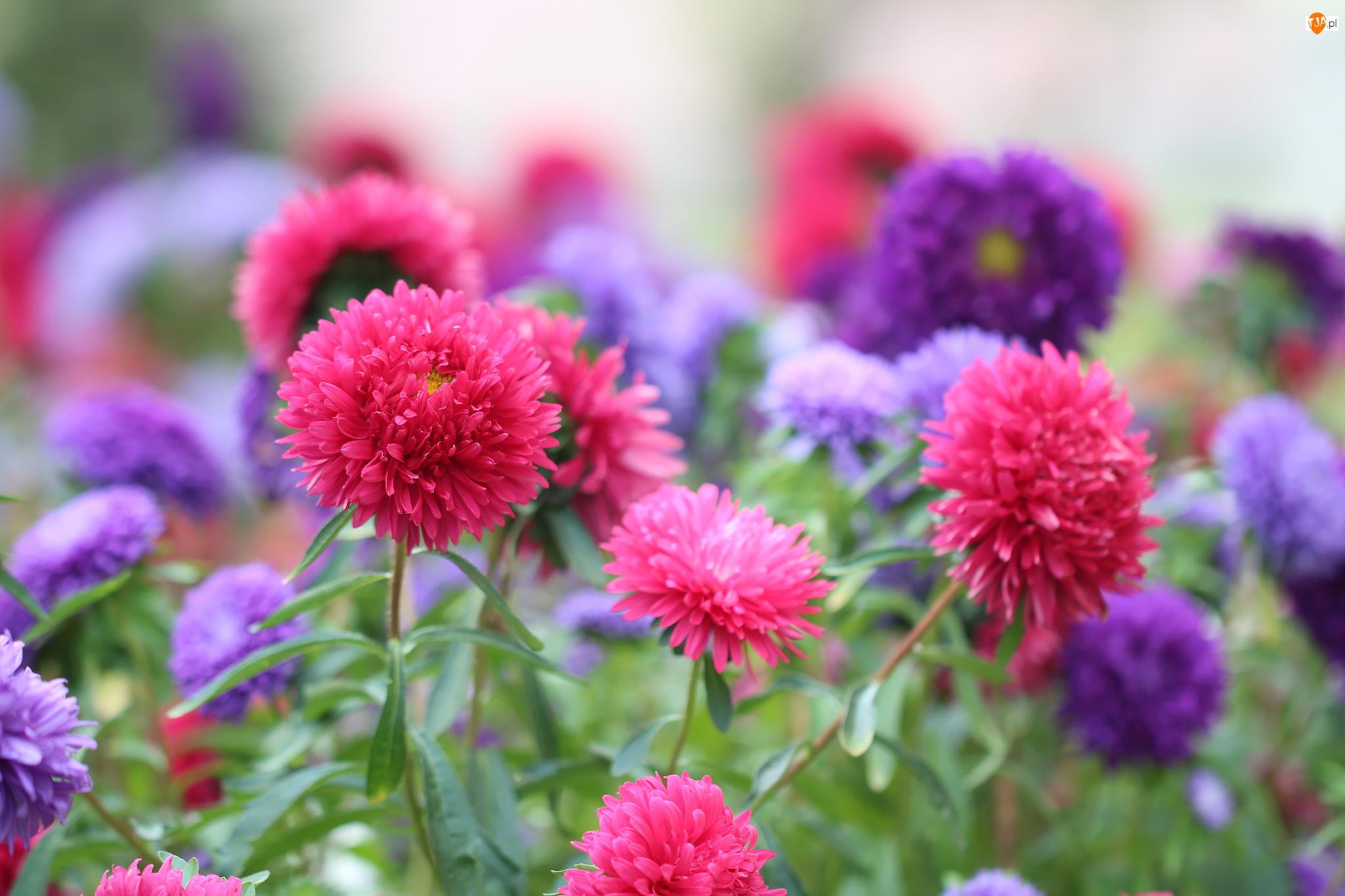 Astry, Kolorowe, Różowe, Fioletowe