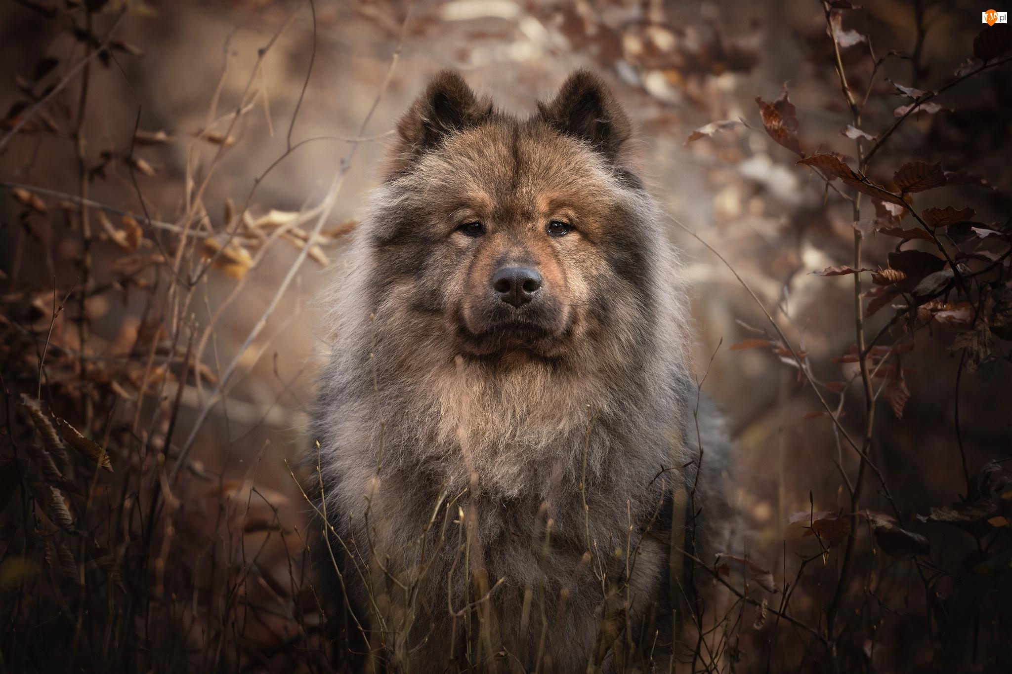 Gałęzie, Pies, Szpic Eurasier, Spojrzenie