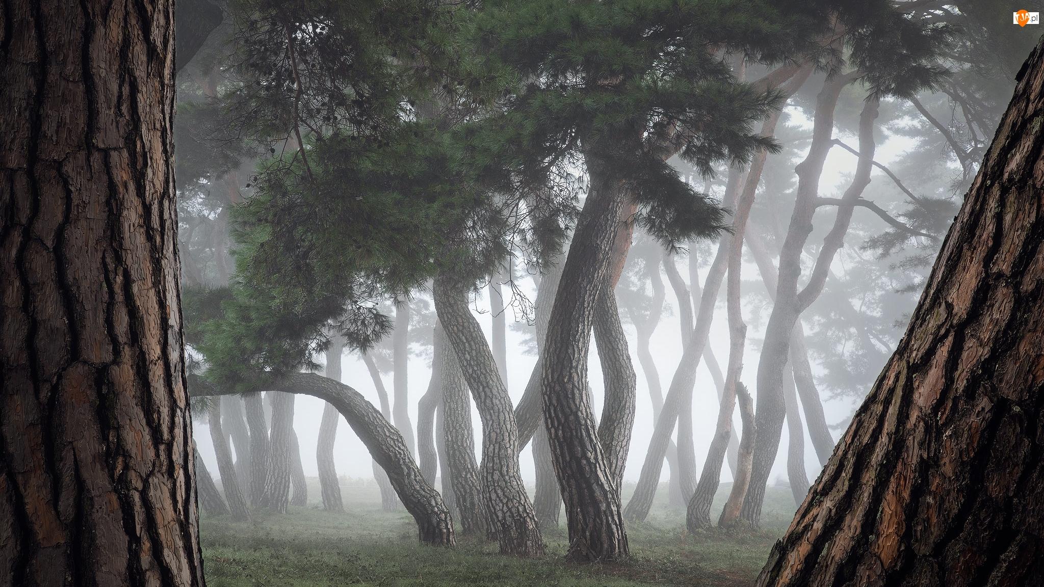 Mgła, Drzewa, Las, Pnie
