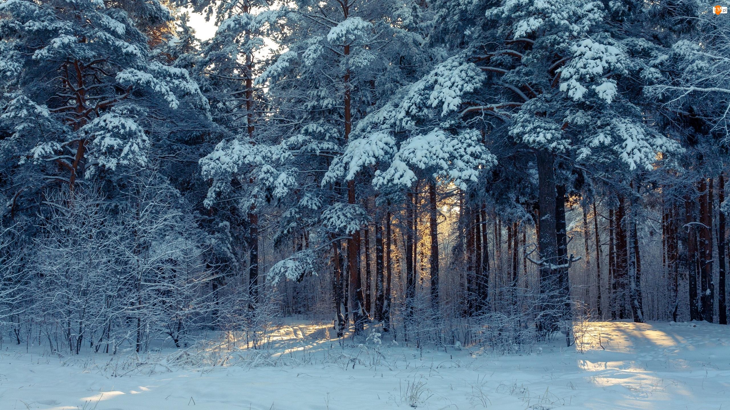 Las, Zima, Drzewa, Ośnieżone, Przebijające światło