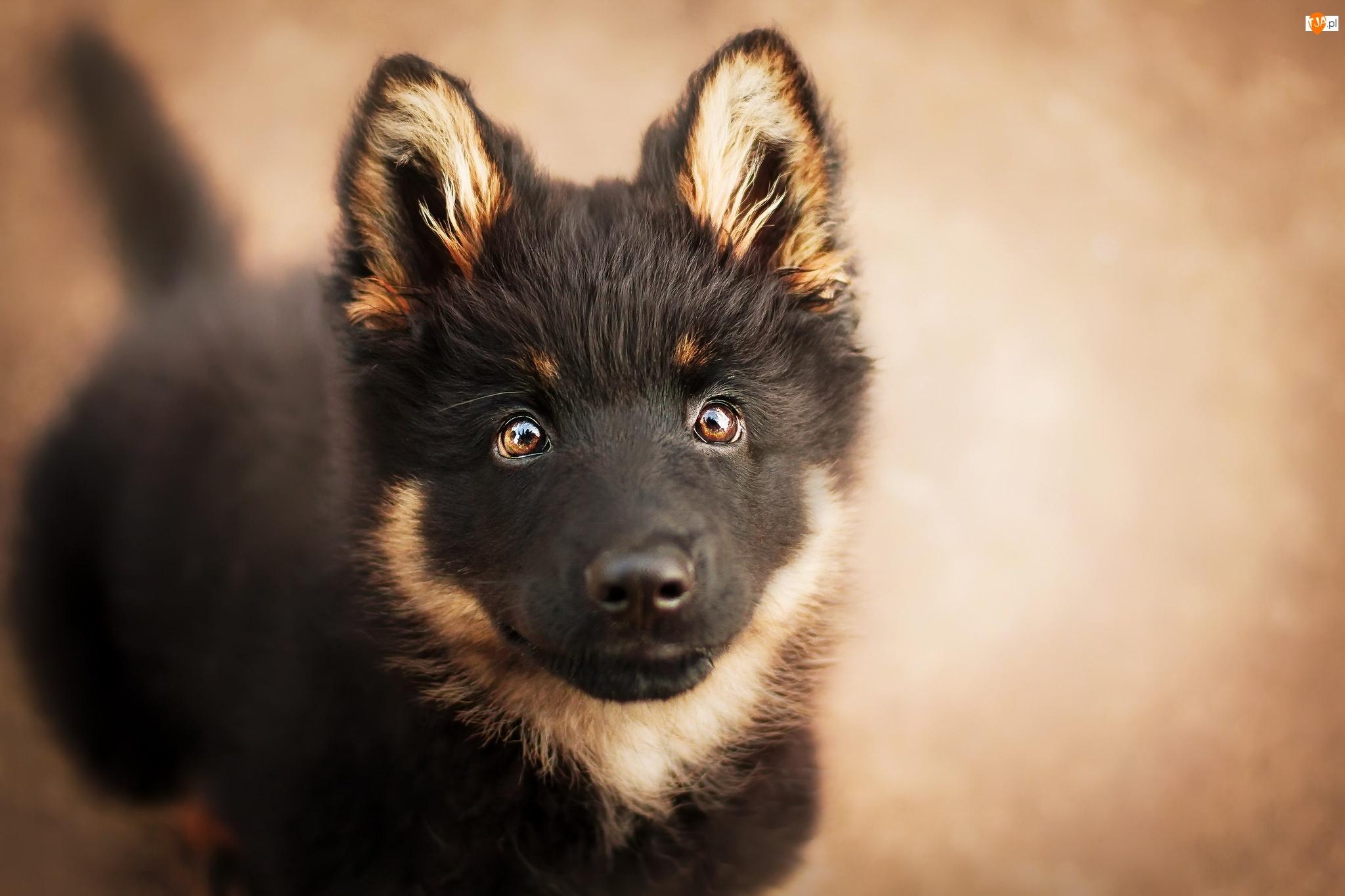Spojrzenie, Pies, Szczeniak