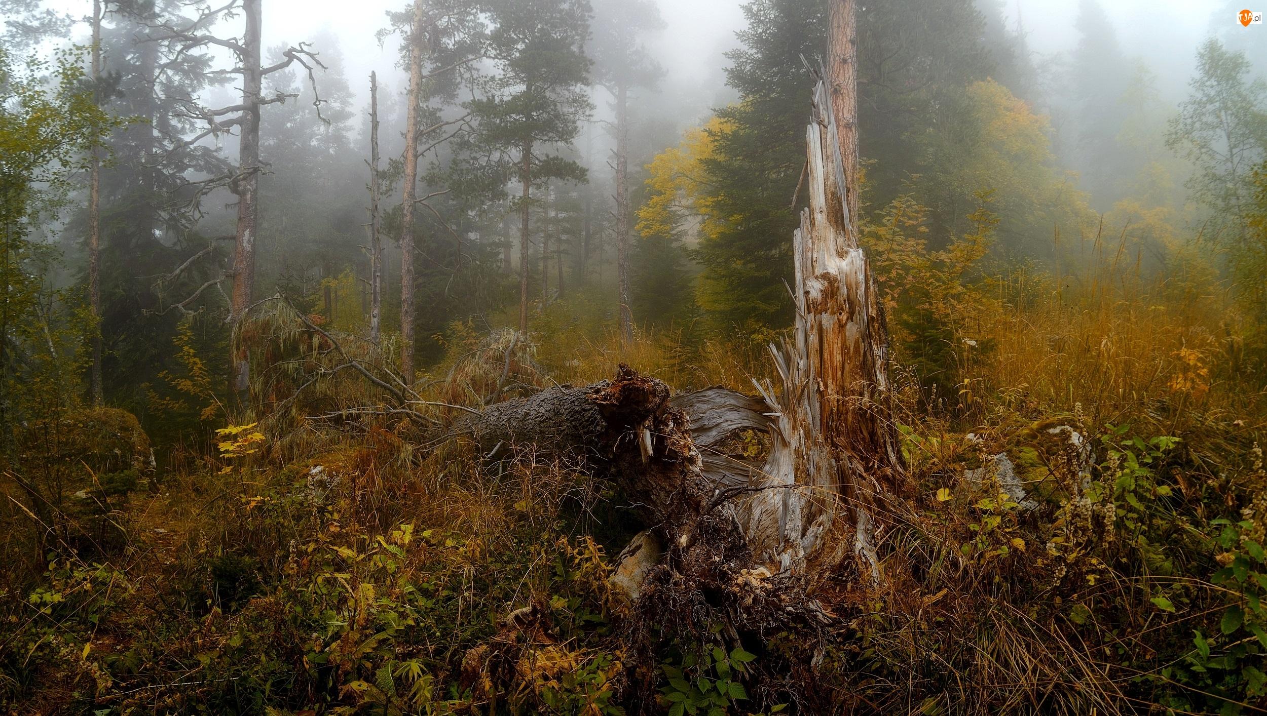 Las, Drzewa, Drzewo, Jesień, Powalone, Rośliny, Mgła